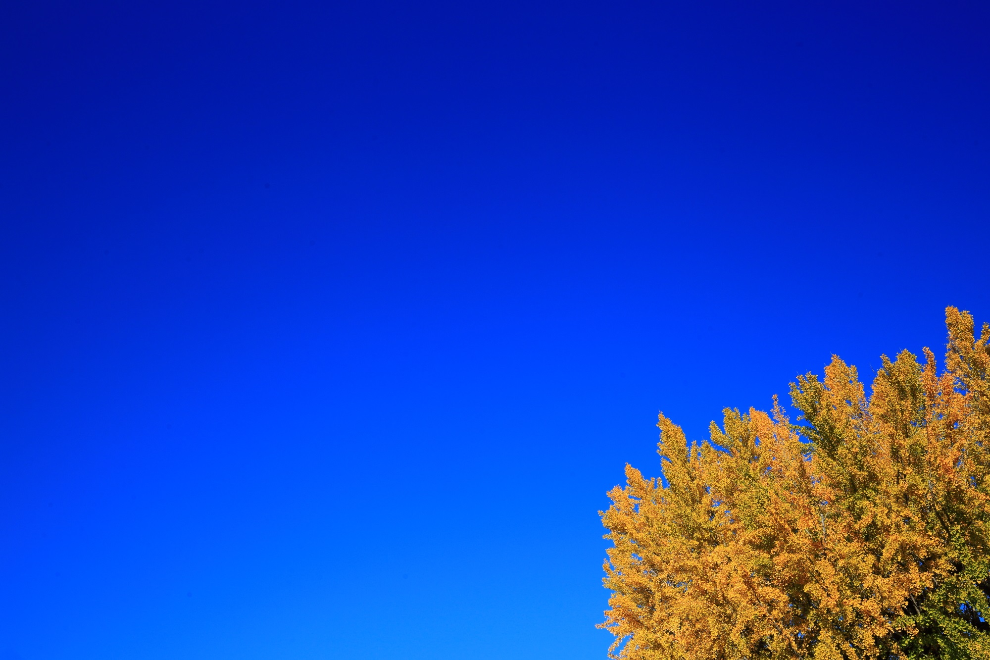西本願寺の阿弥陀堂前の大きな鮮やかな黄色い銀杏と快晴の青空