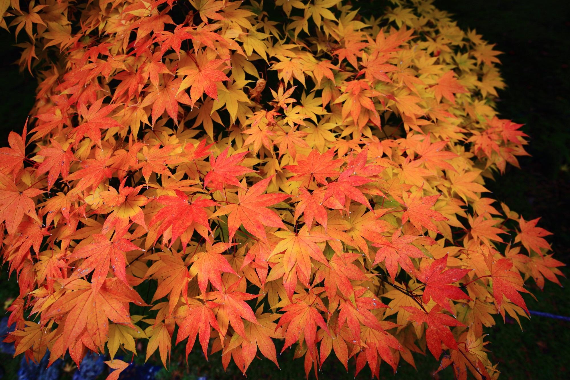 鹿王院の綺麗なオレンジの紅葉