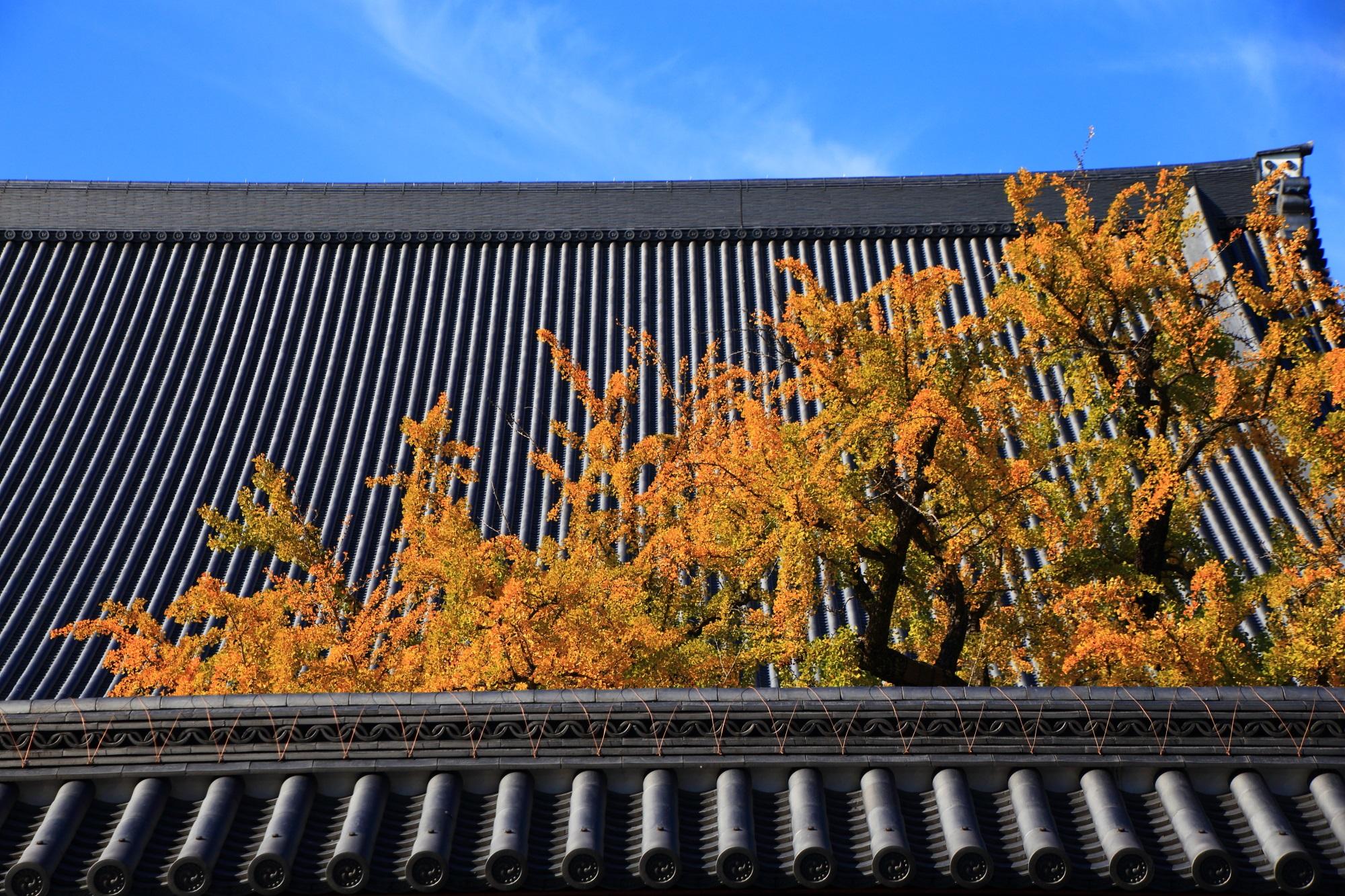 西本願寺の御影堂前の大きな逆さ銀杏