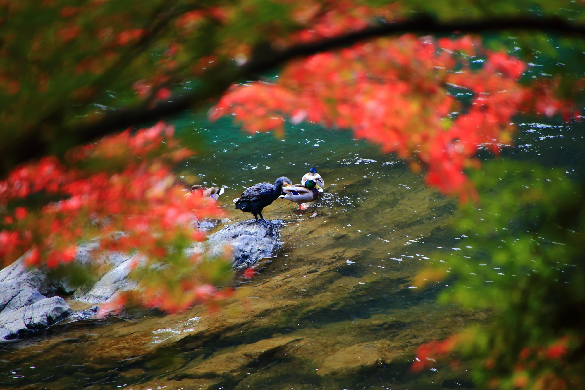 長閑な宇治川の鮮やかな紅葉と鴨