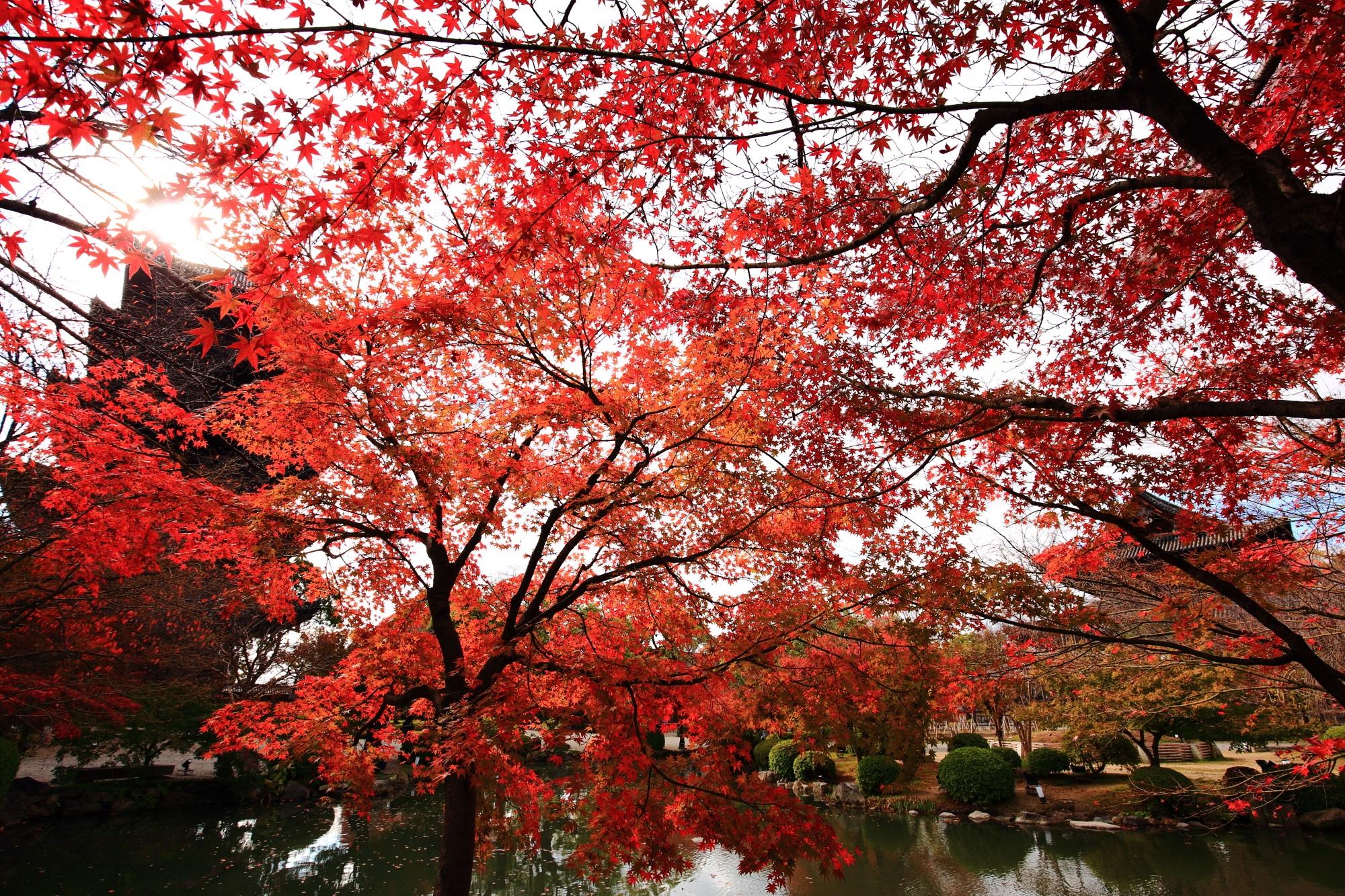 紅葉につつまれた京都のもみじの名所の東寺の五重塔と金堂