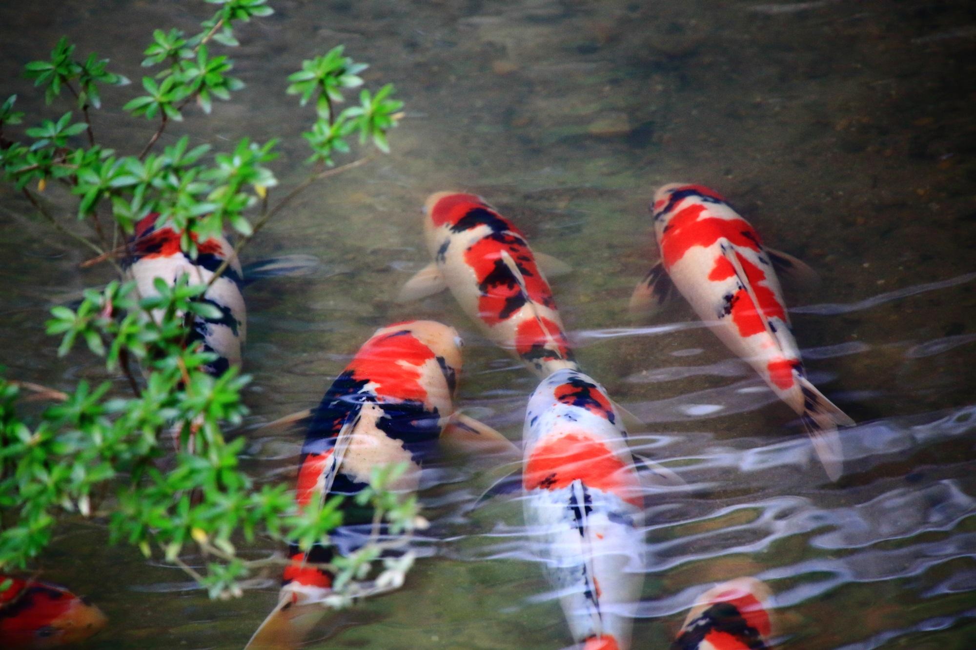 青蓮院の龍心池の優雅に泳ぐ鯉