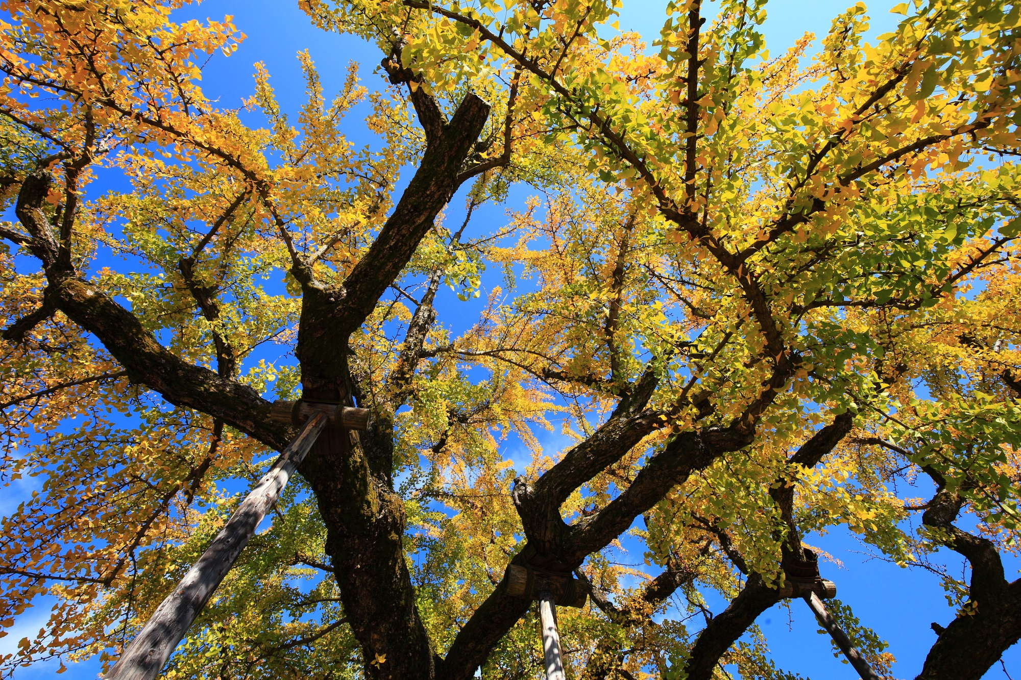 西本願寺の空を覆う大きな逆さ銀杏