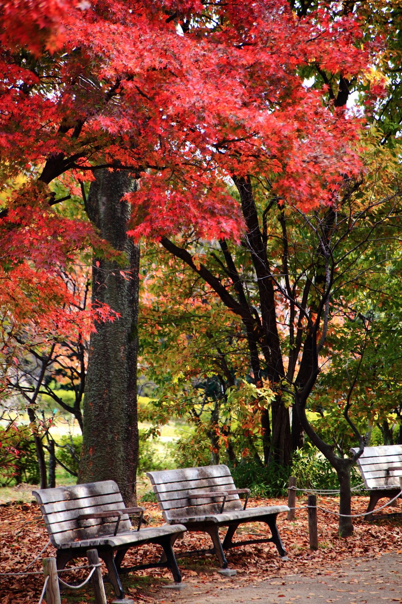 梅小路公園の見ごろの優美な紅葉とベンチ
