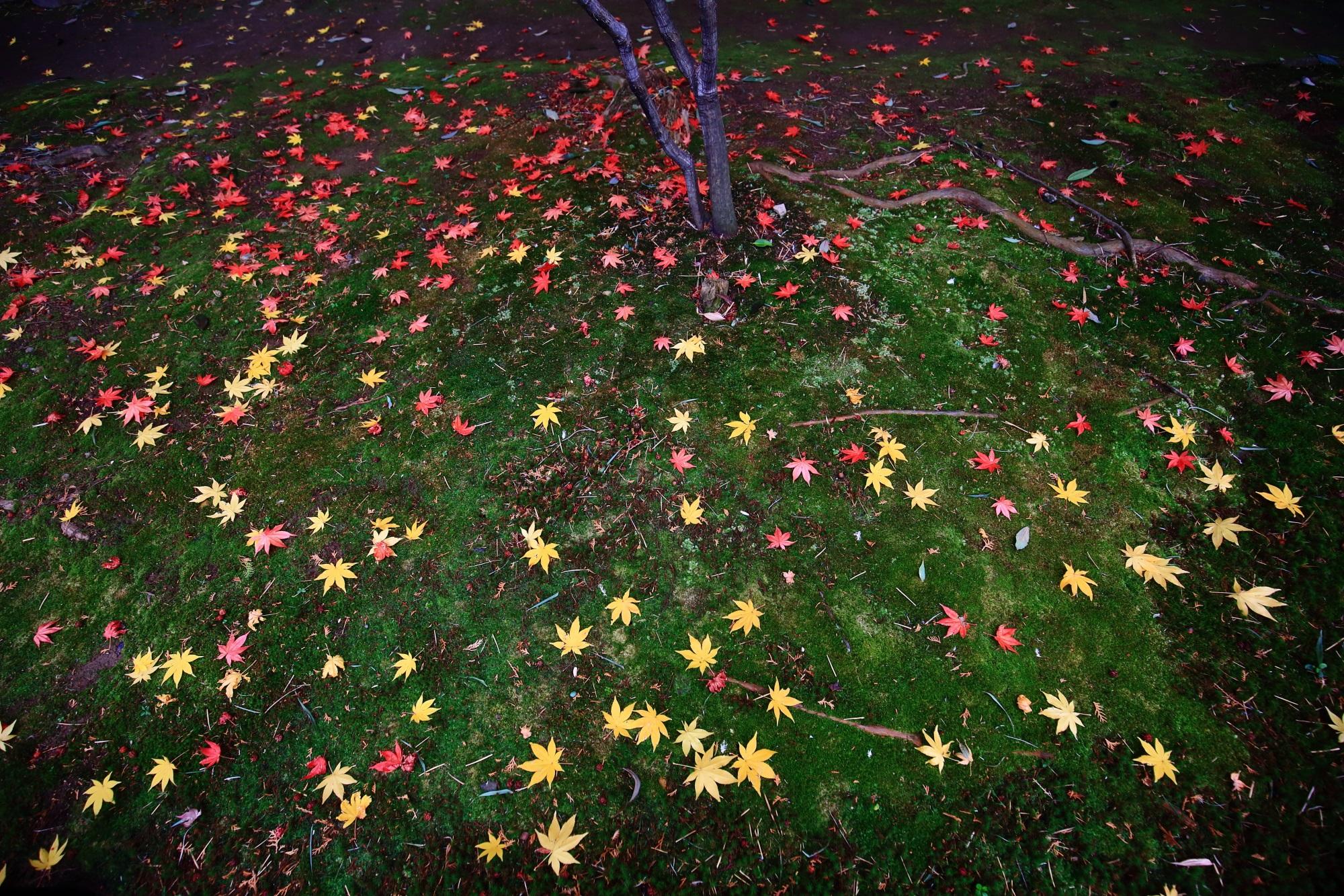 鹿王院の参道の苔の華やかな散りもみじ