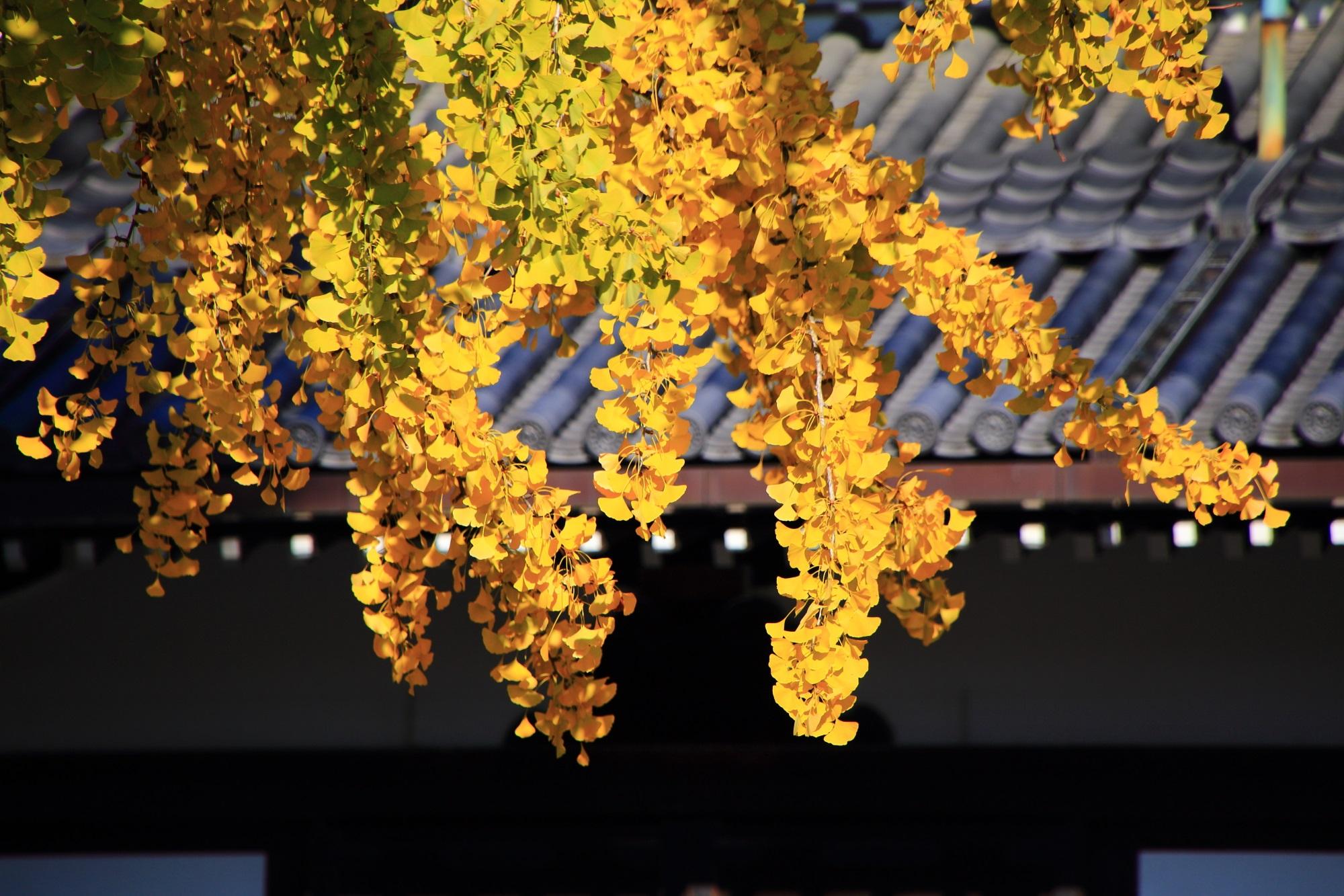 西本願寺 銀杏 黄葉 見ごろ 阿弥陀堂