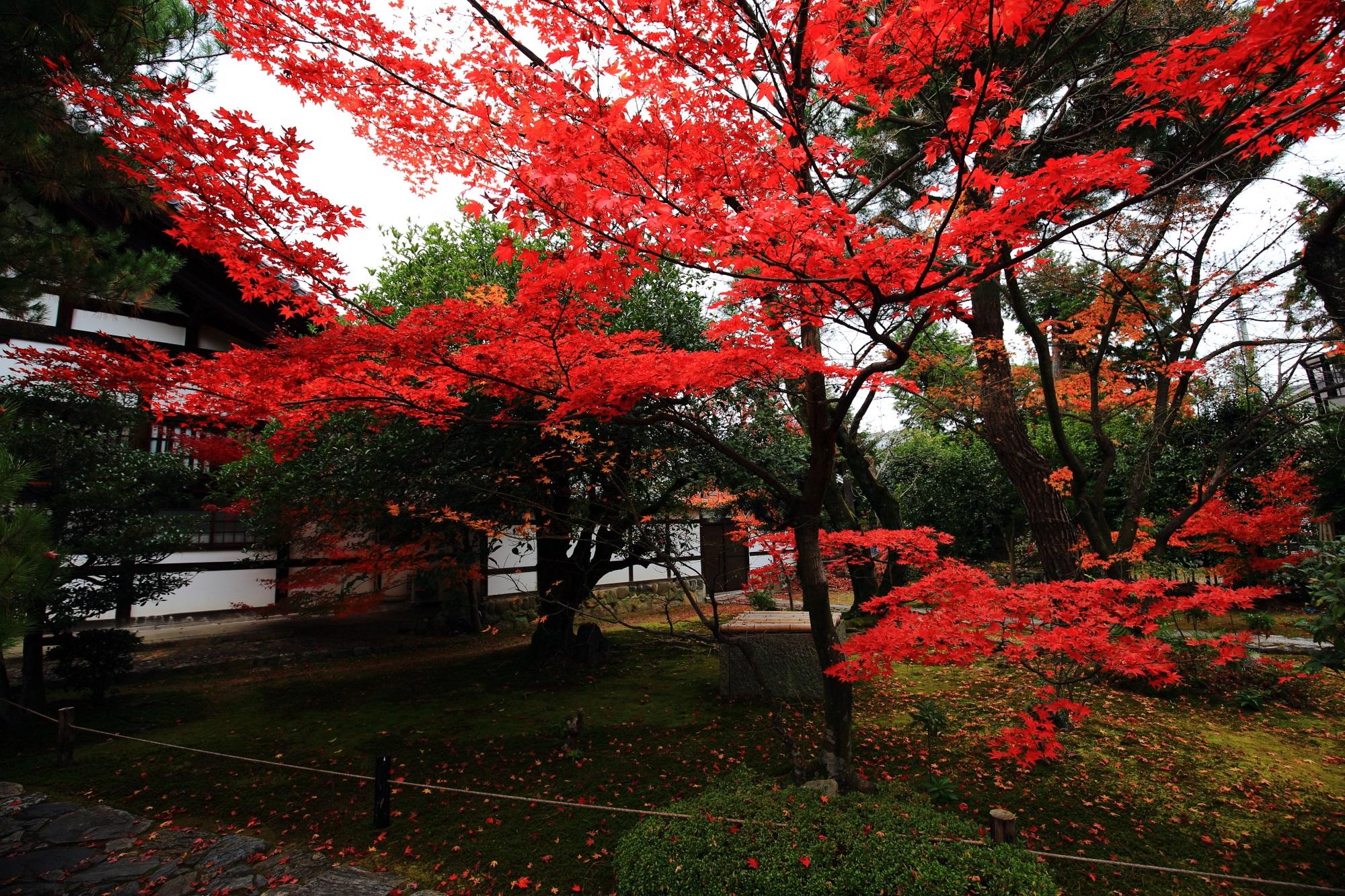紅葉の穴場の嵐山鹿王院の庫裡前の鮮やかなもみじ