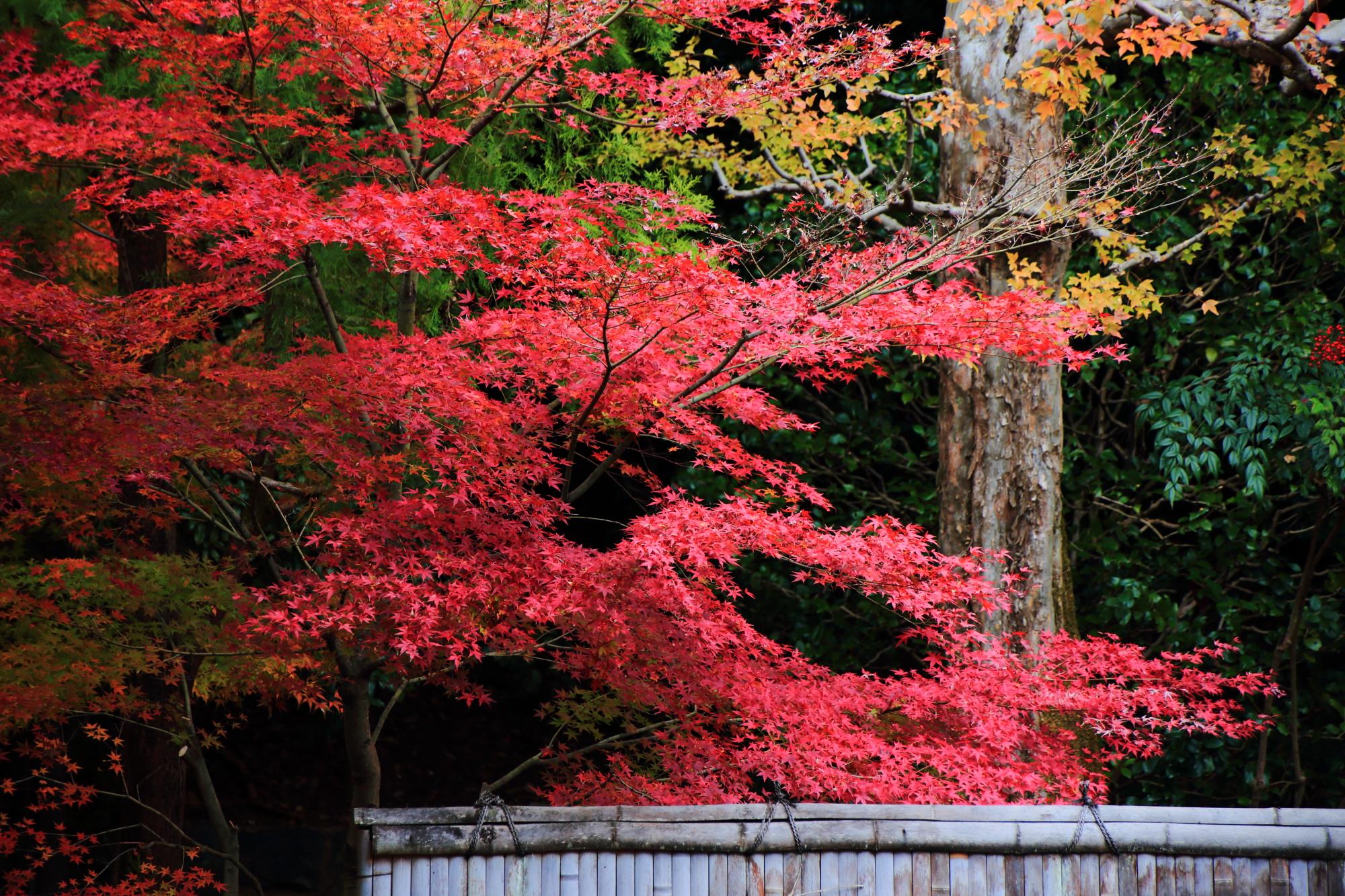 もみじの名所の東福寺塔頭龍吟庵の不離の庭の見ごろの鮮やかな紅葉