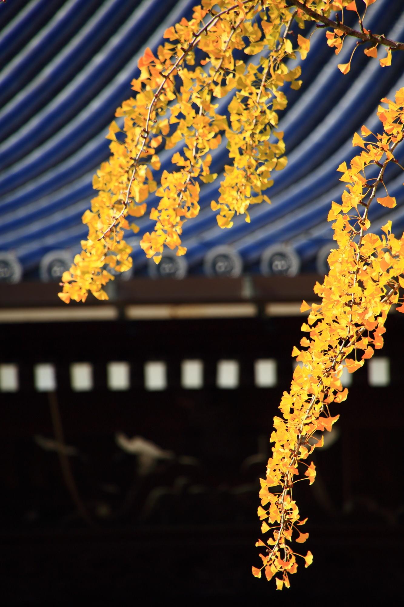 西本願寺の御影堂前の黄色い優雅な大銀杏