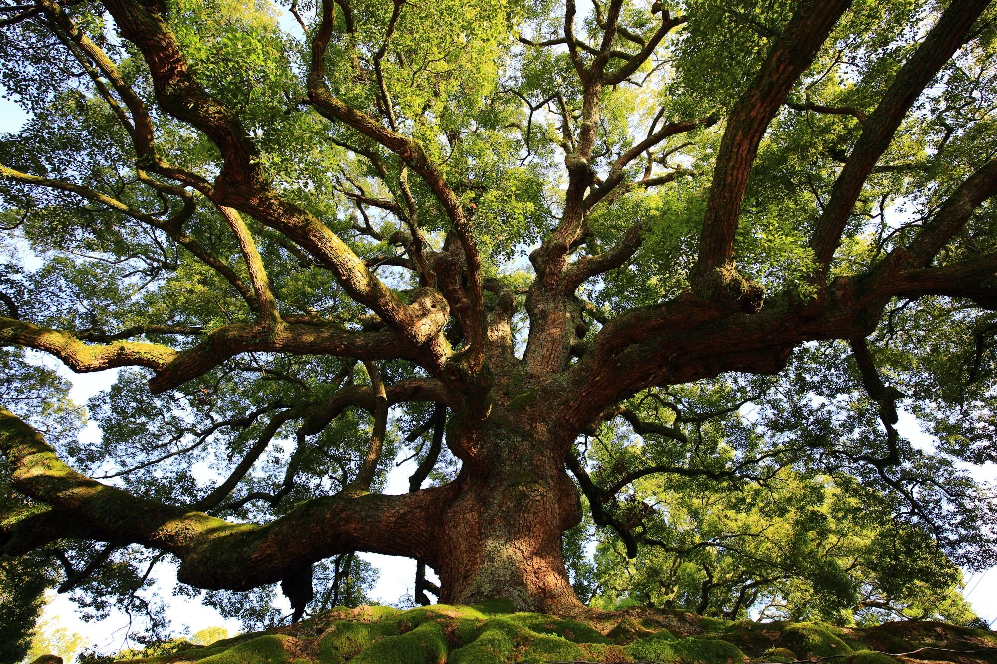 青蓮院の迫力の大きな楠木
