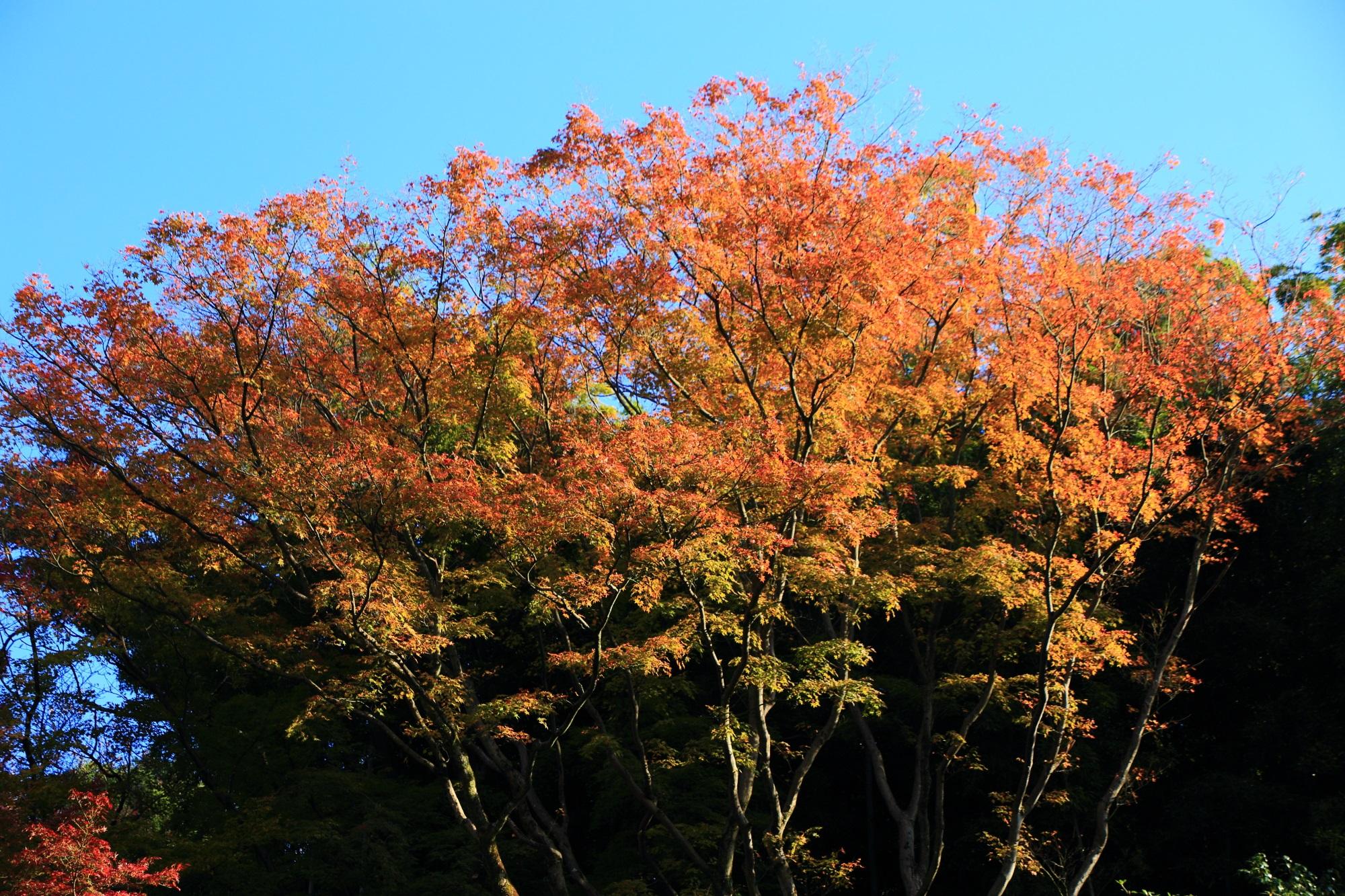 青蓮院の相阿弥の庭の華やかな紅葉