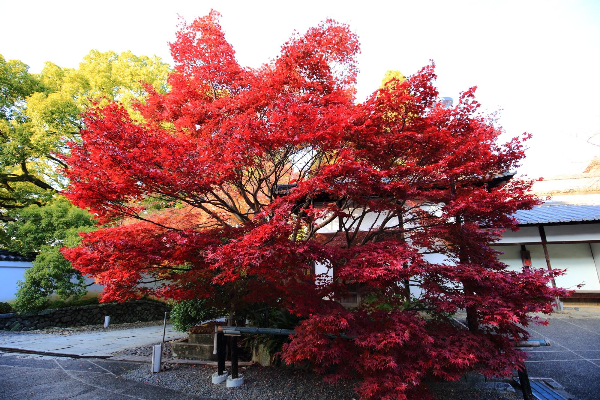 青蓮院門跡の入口付近の鮮やかな真っ赤な紅葉