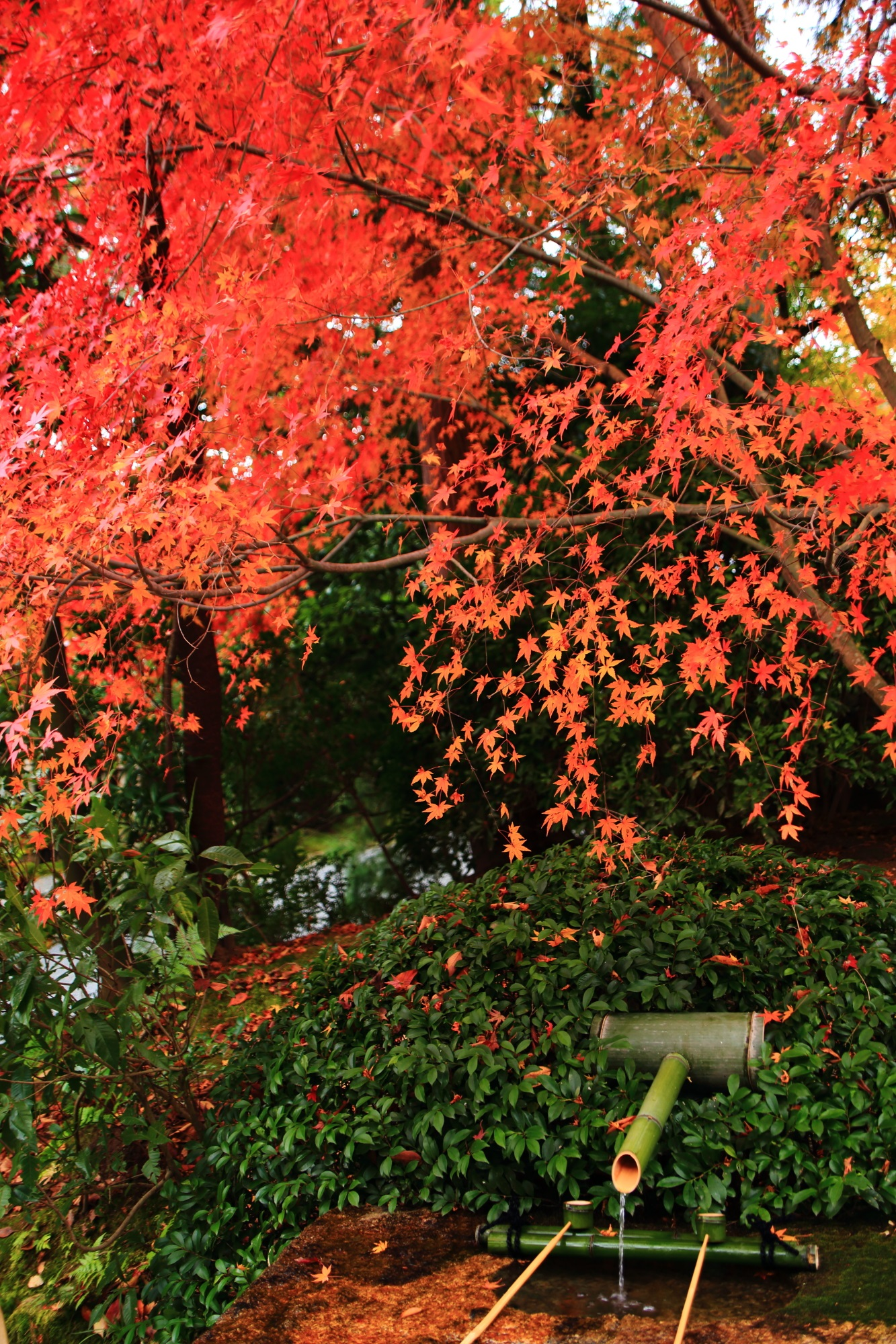 趣きある手水鉢の美しく風情ある紅葉