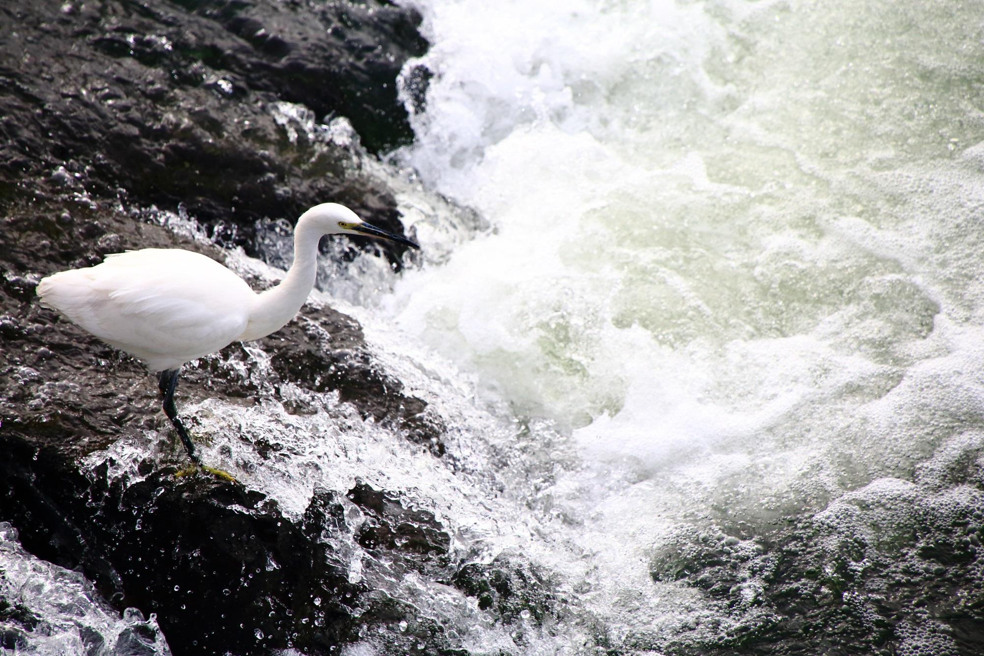 宇治川の白鷺