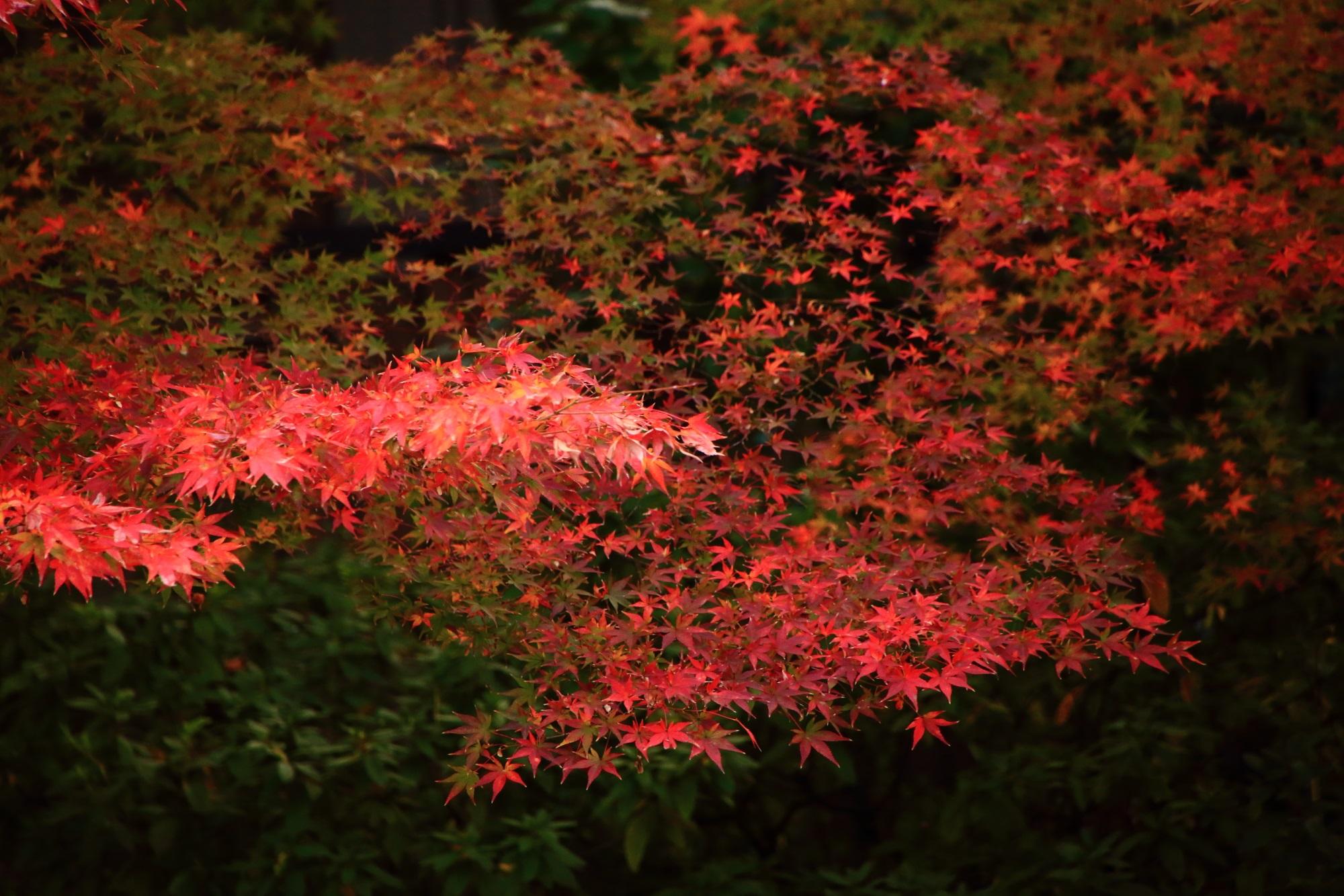 もみじの名所の圓徳院の南庭の見ごろの優美な紅葉