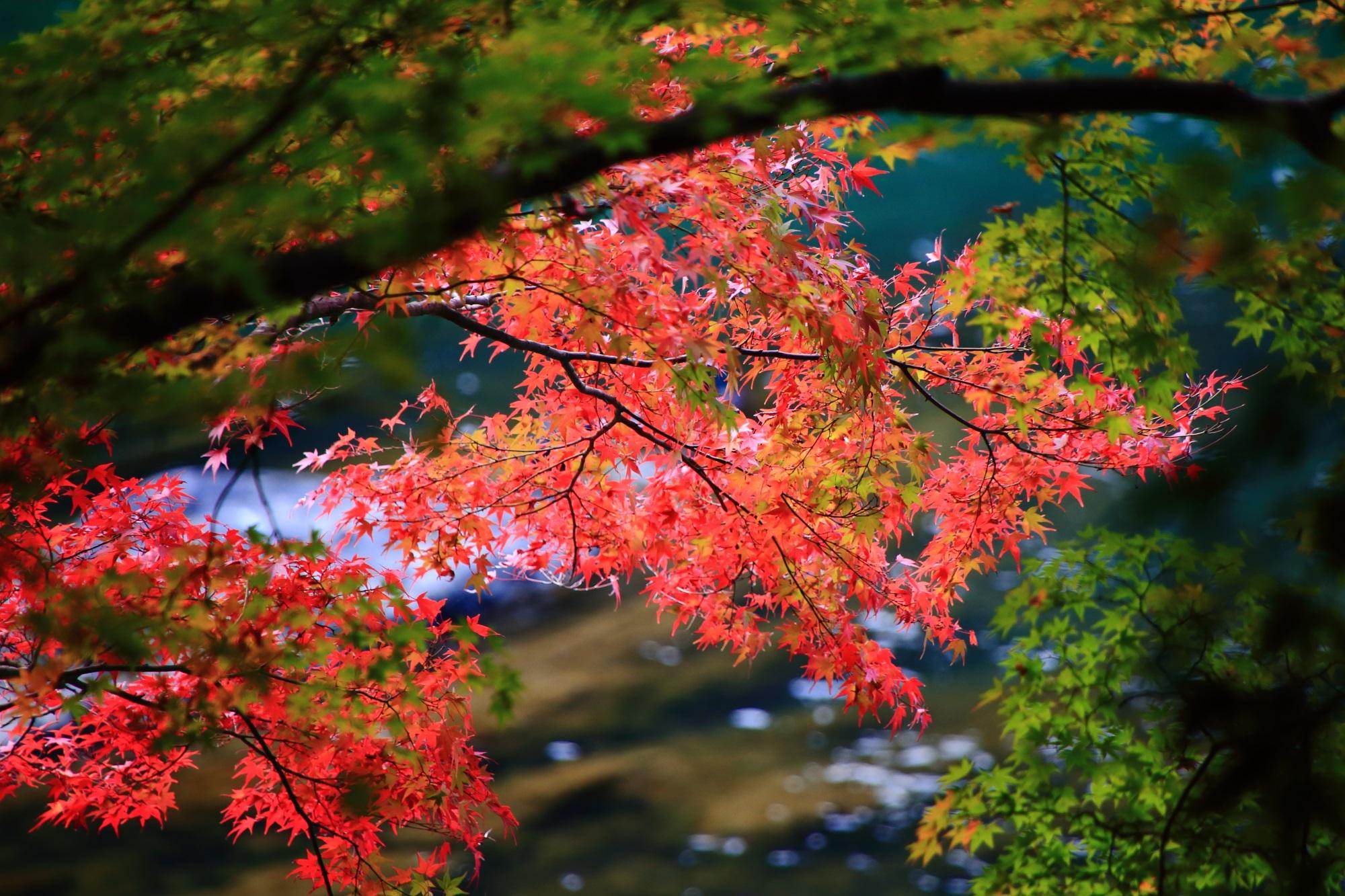 宇治川の華やかな赤い紅葉