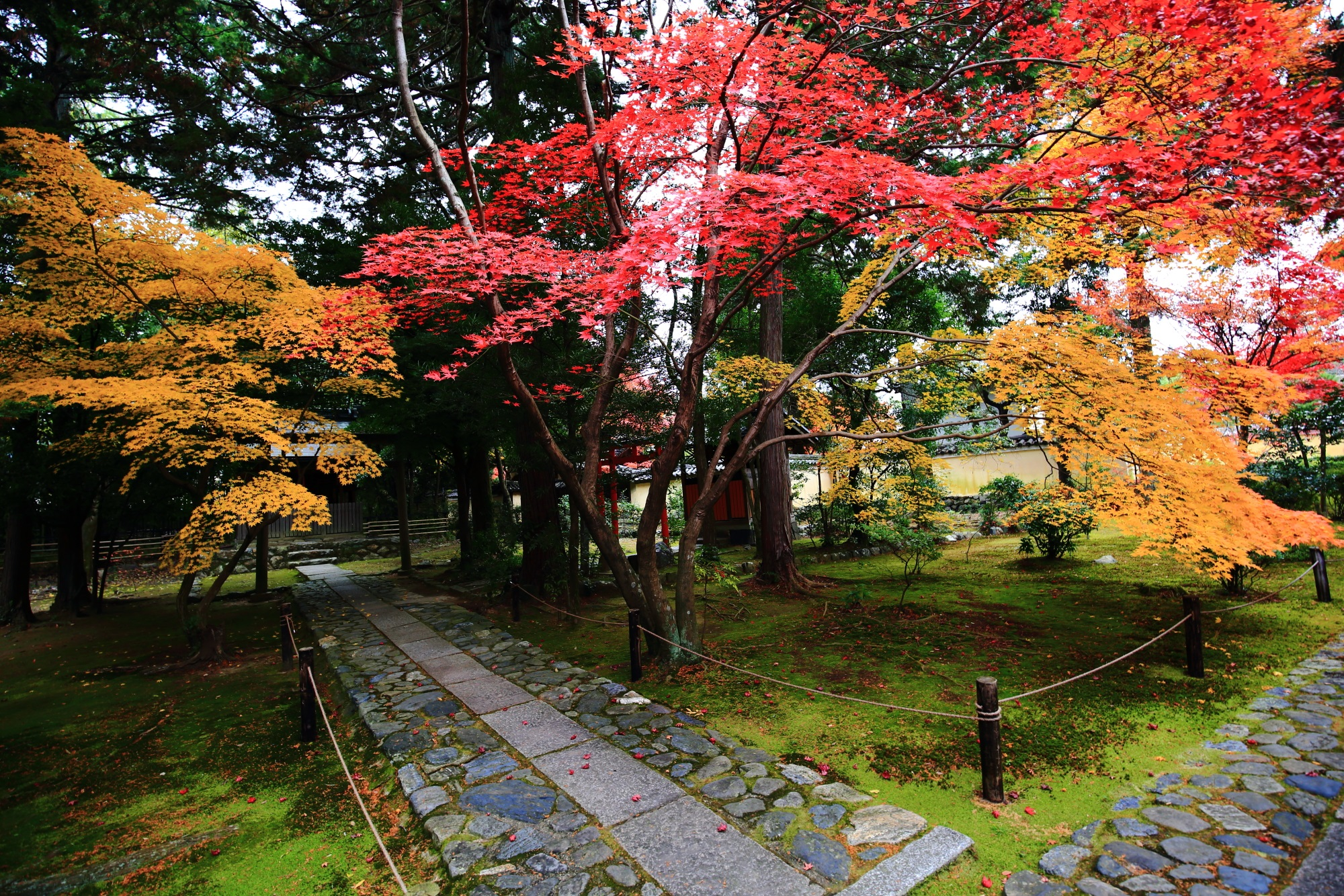 京都の紅葉の名所の鹿王院の鮮やかなもみじ
