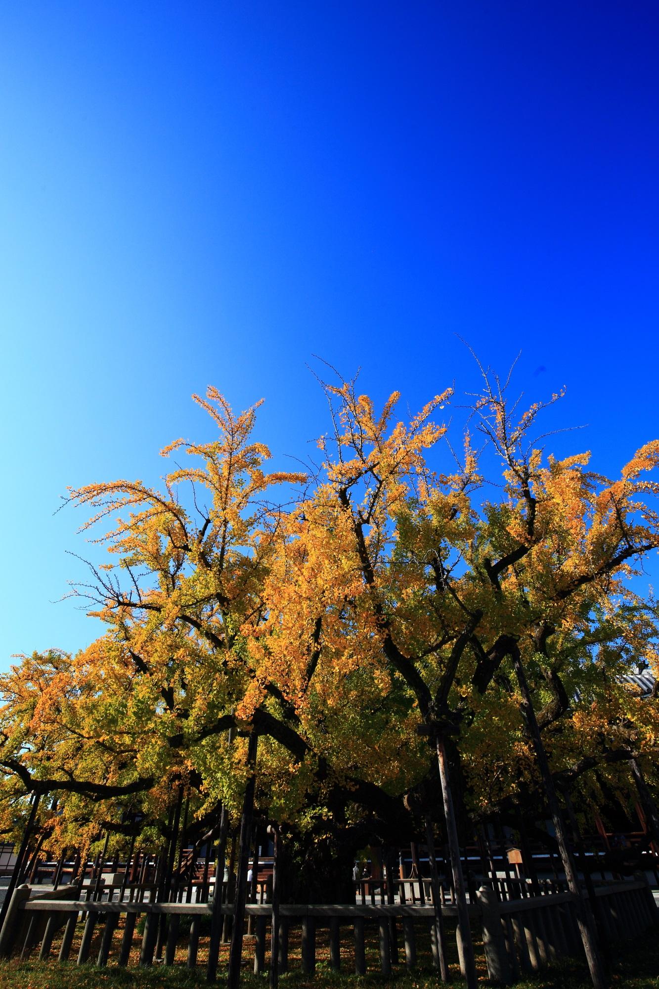 イチョウの名所の西本願寺の逆さ銀杏と青空