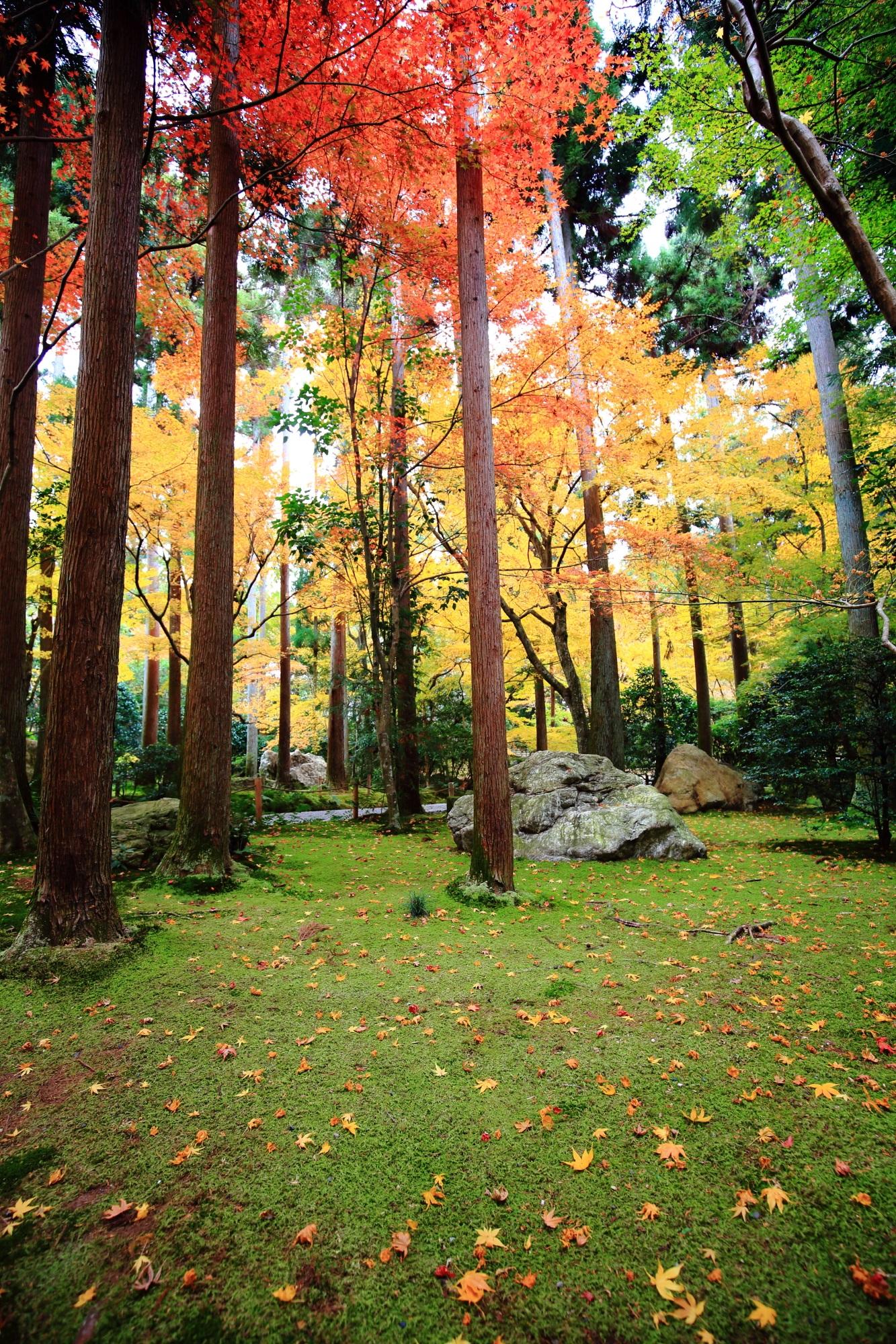 真っ直ぐに伸びた杉の木の間で色づく紅葉