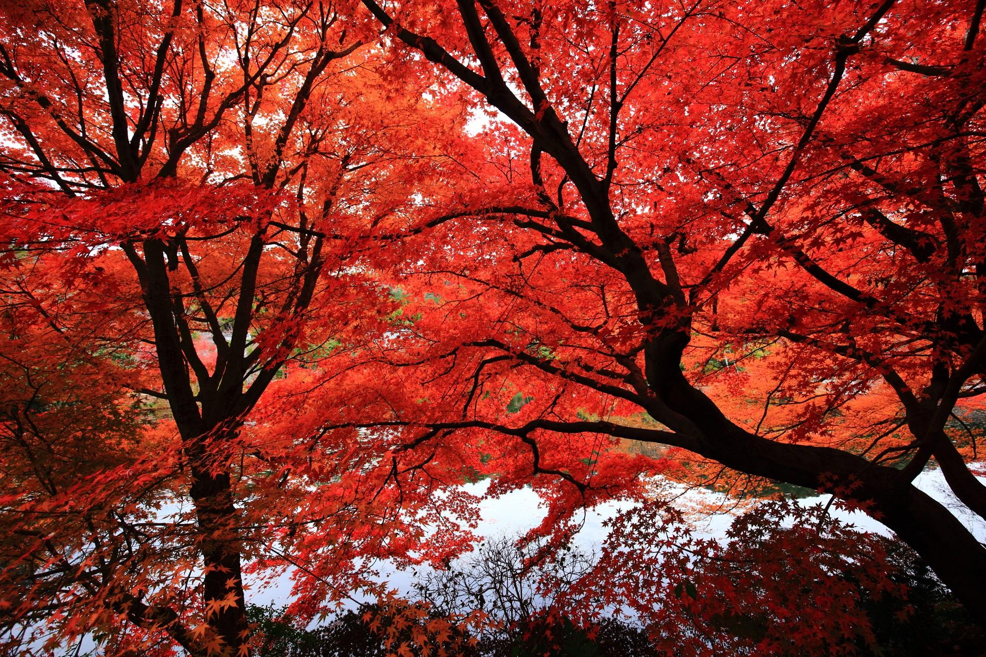 龍安寺の鏡容池の芸術的な枝の紅葉