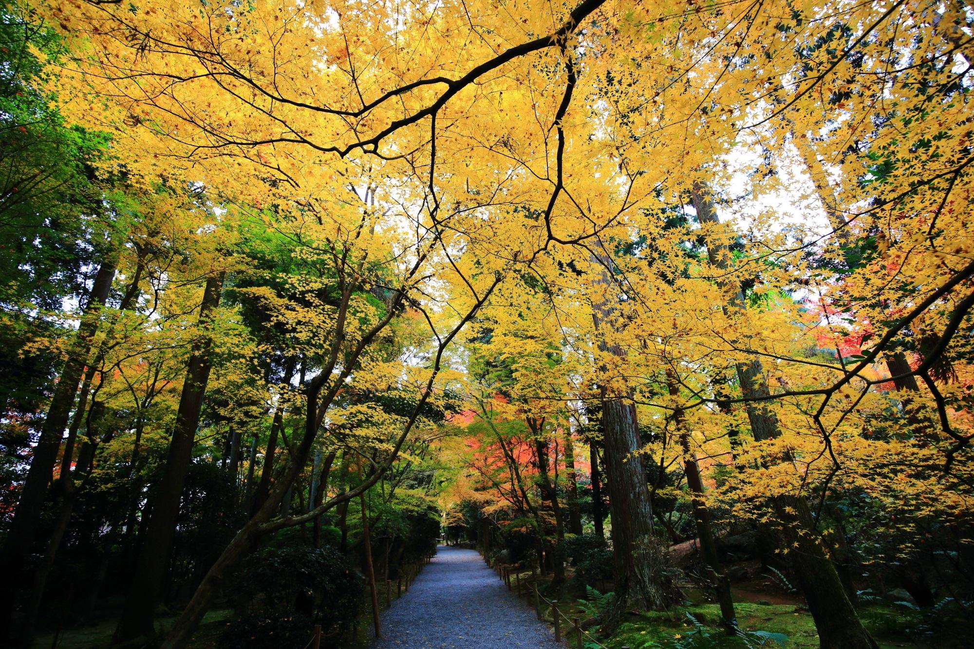 龍安寺の参道の綺麗な黄色の紅葉