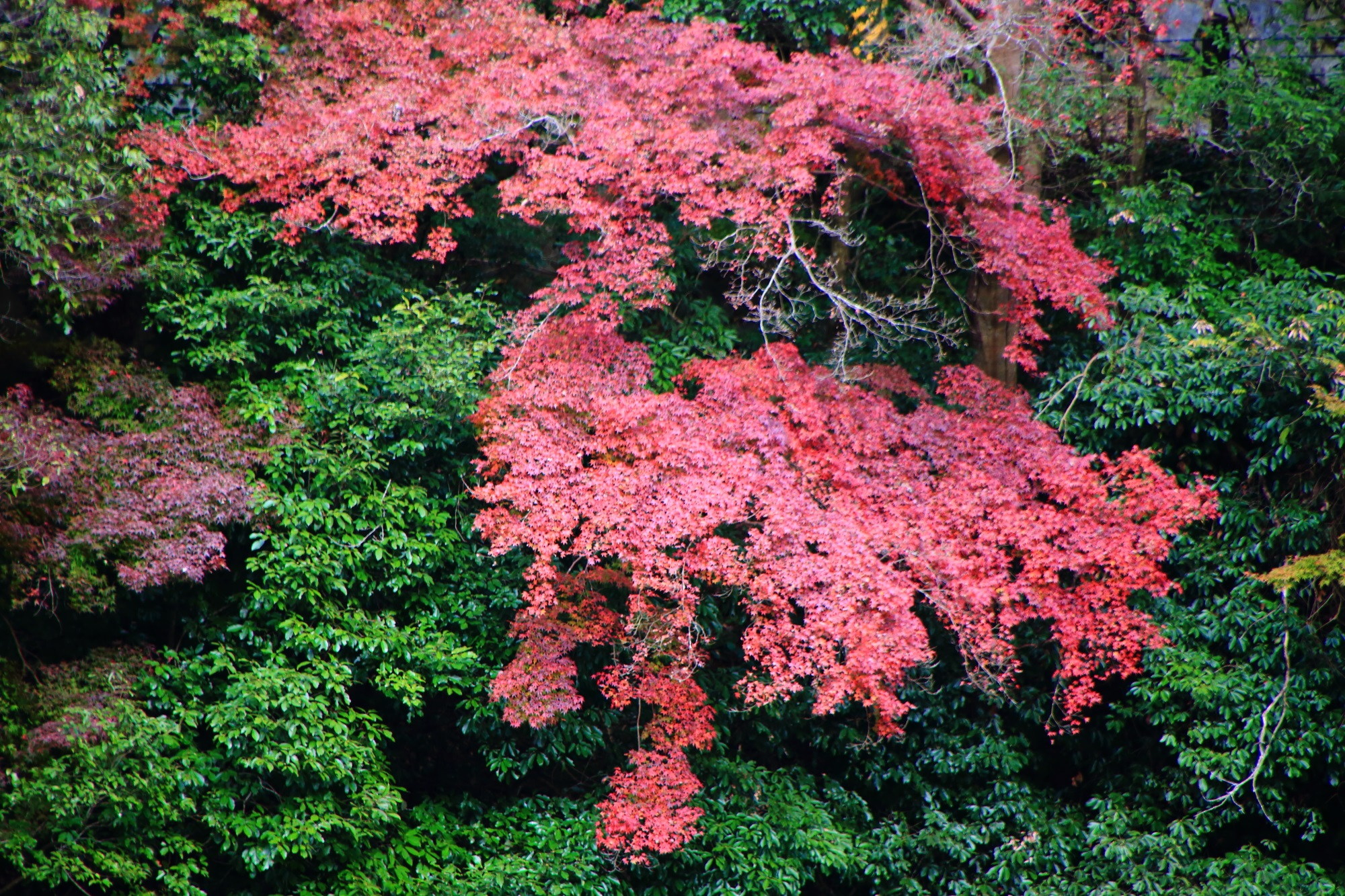 Kyoto Uji-Gwa River colored leaves 宇治川 紅葉 見ごろ 秋 12月