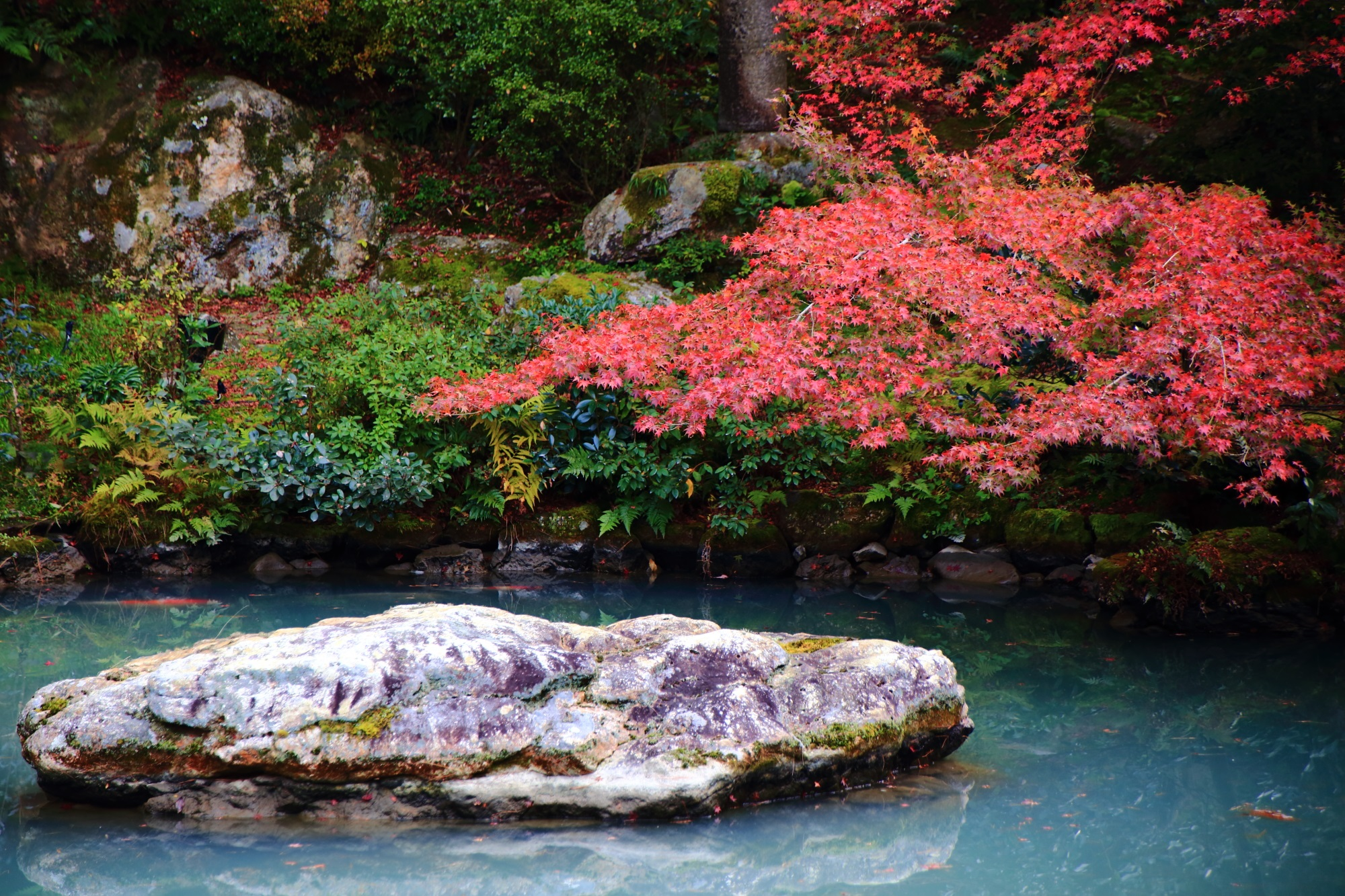 もみじの名所の青蓮院の龍心池の見ごろの紅葉