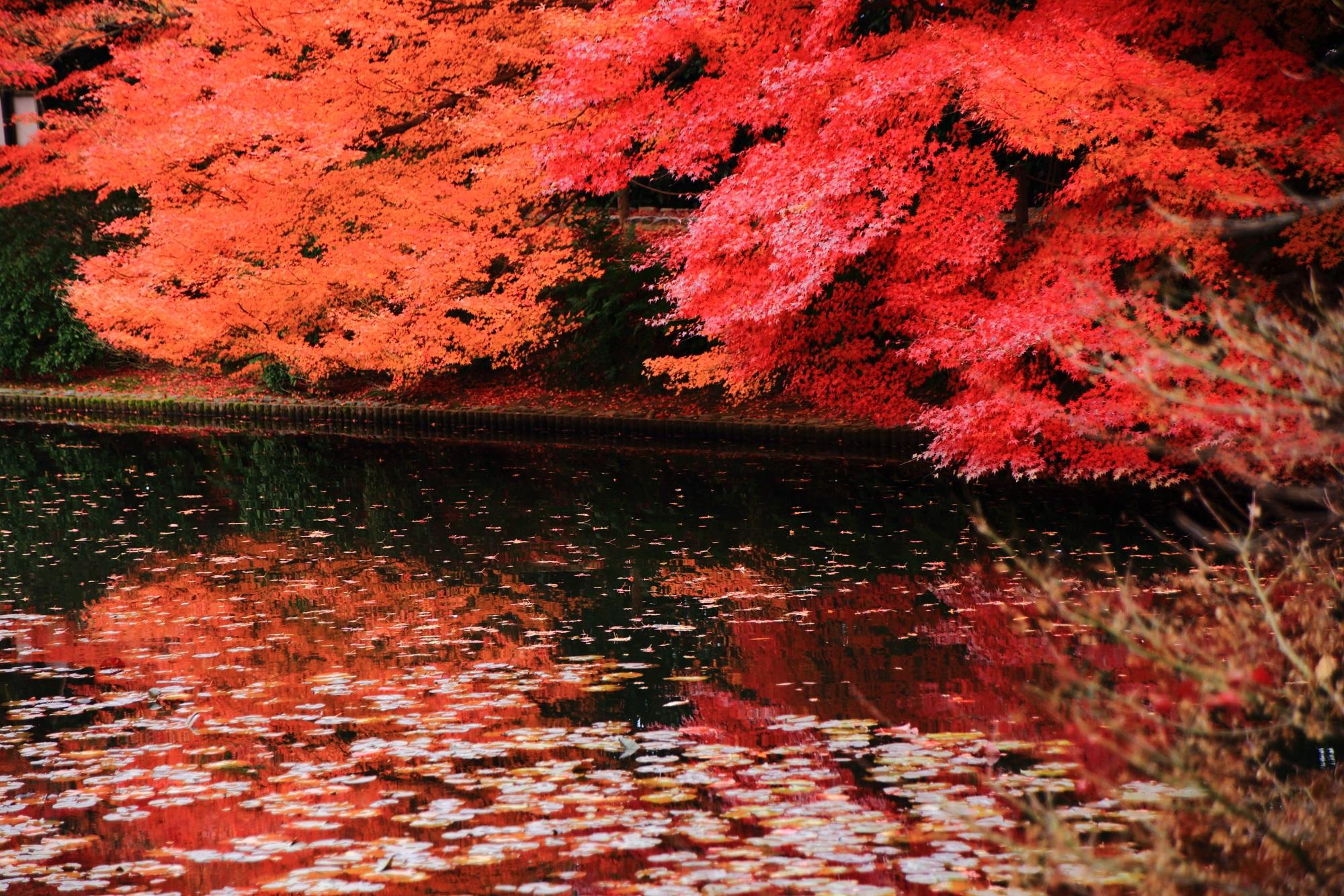 世界遺産の龍安寺の見事な紅葉