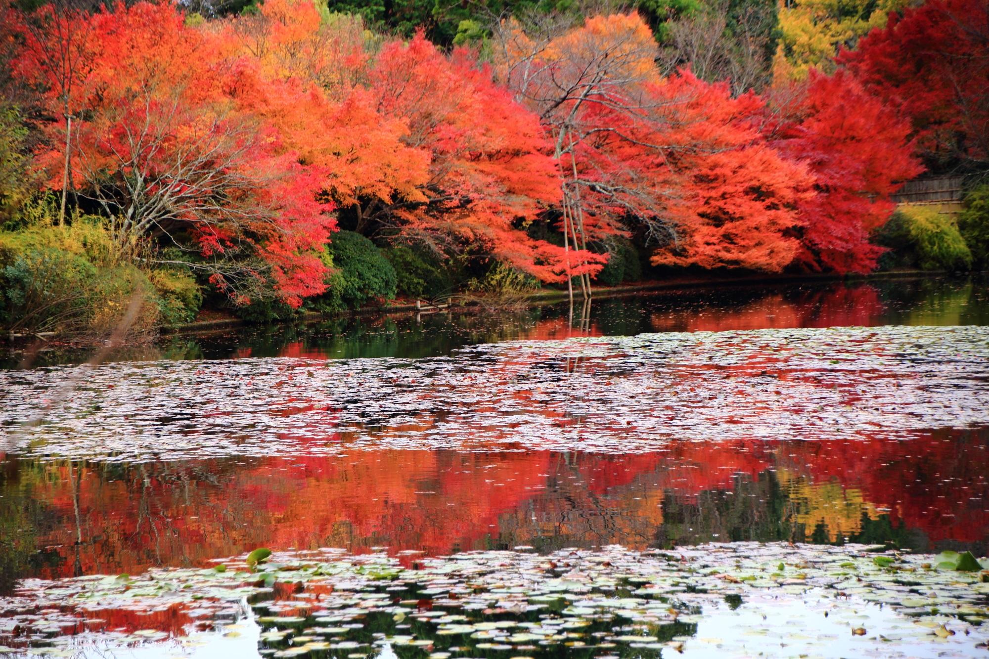 世界遺産の龍安寺の想像以上の色づきの紅葉