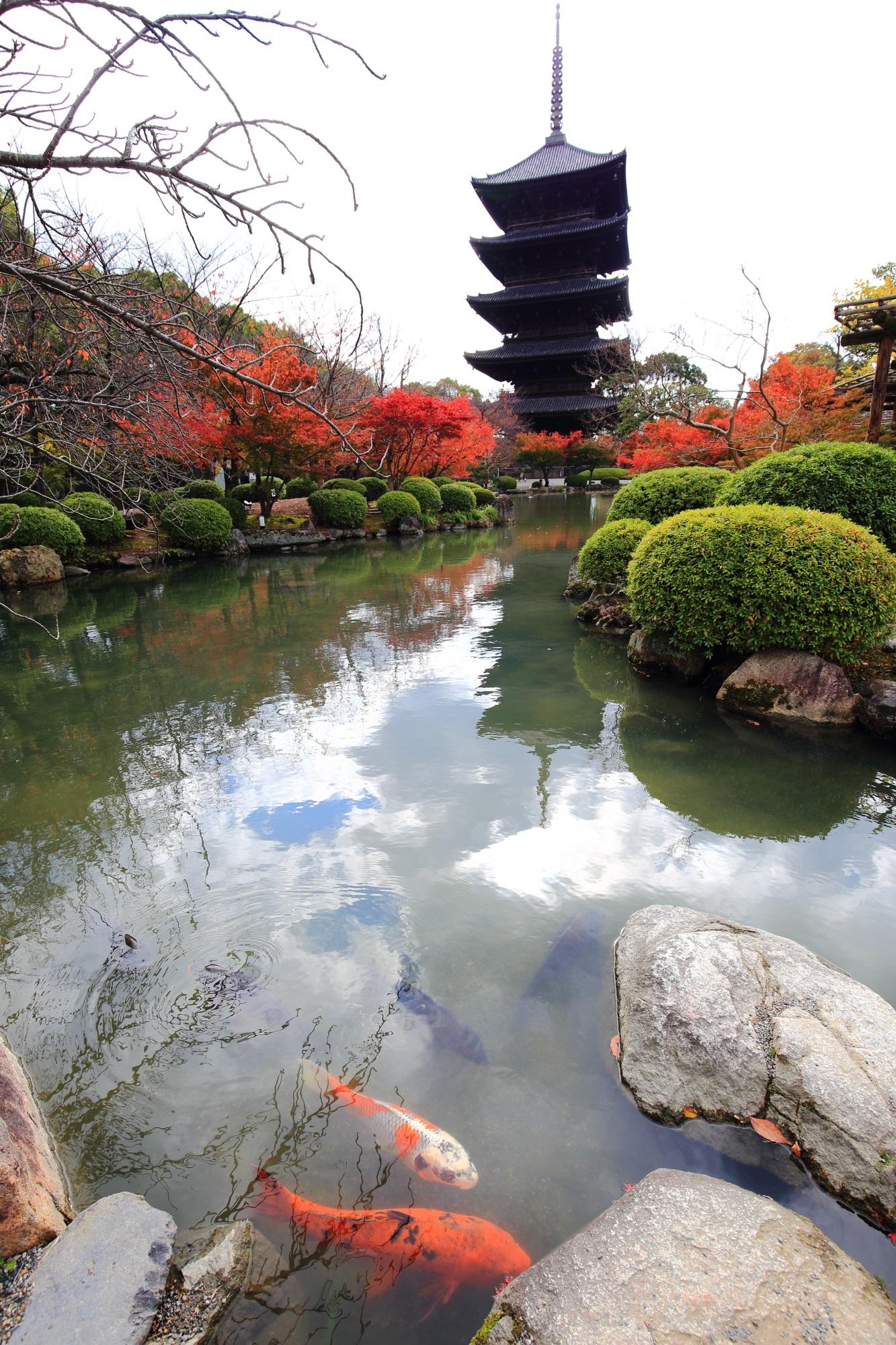 東寺の五重塔と綺麗な紅葉と瓢箪池の優雅な鯉