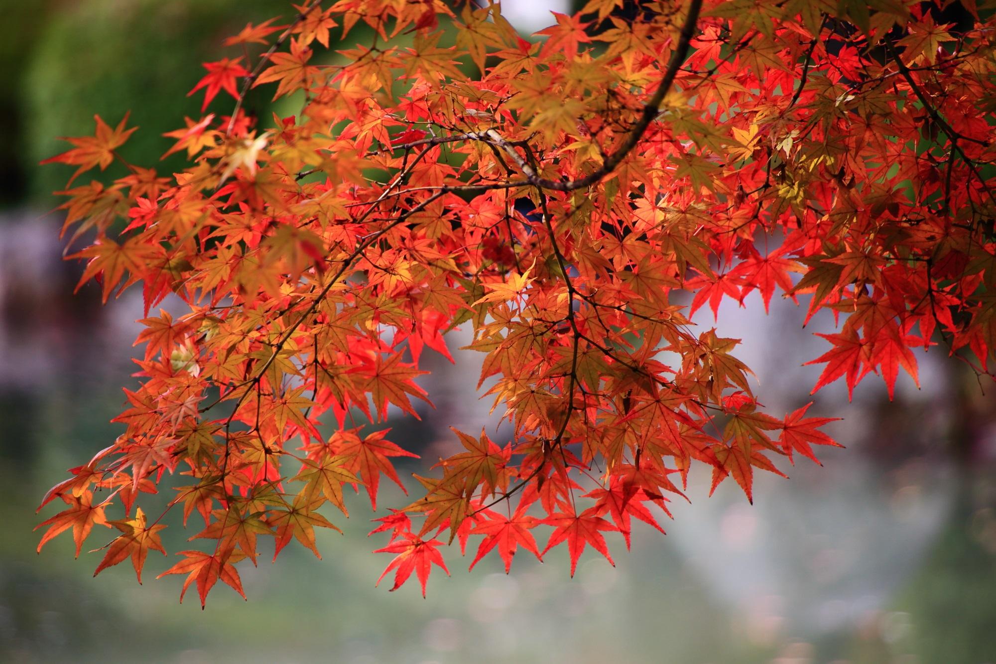 東寺の見ごろの鮮やかな紅葉