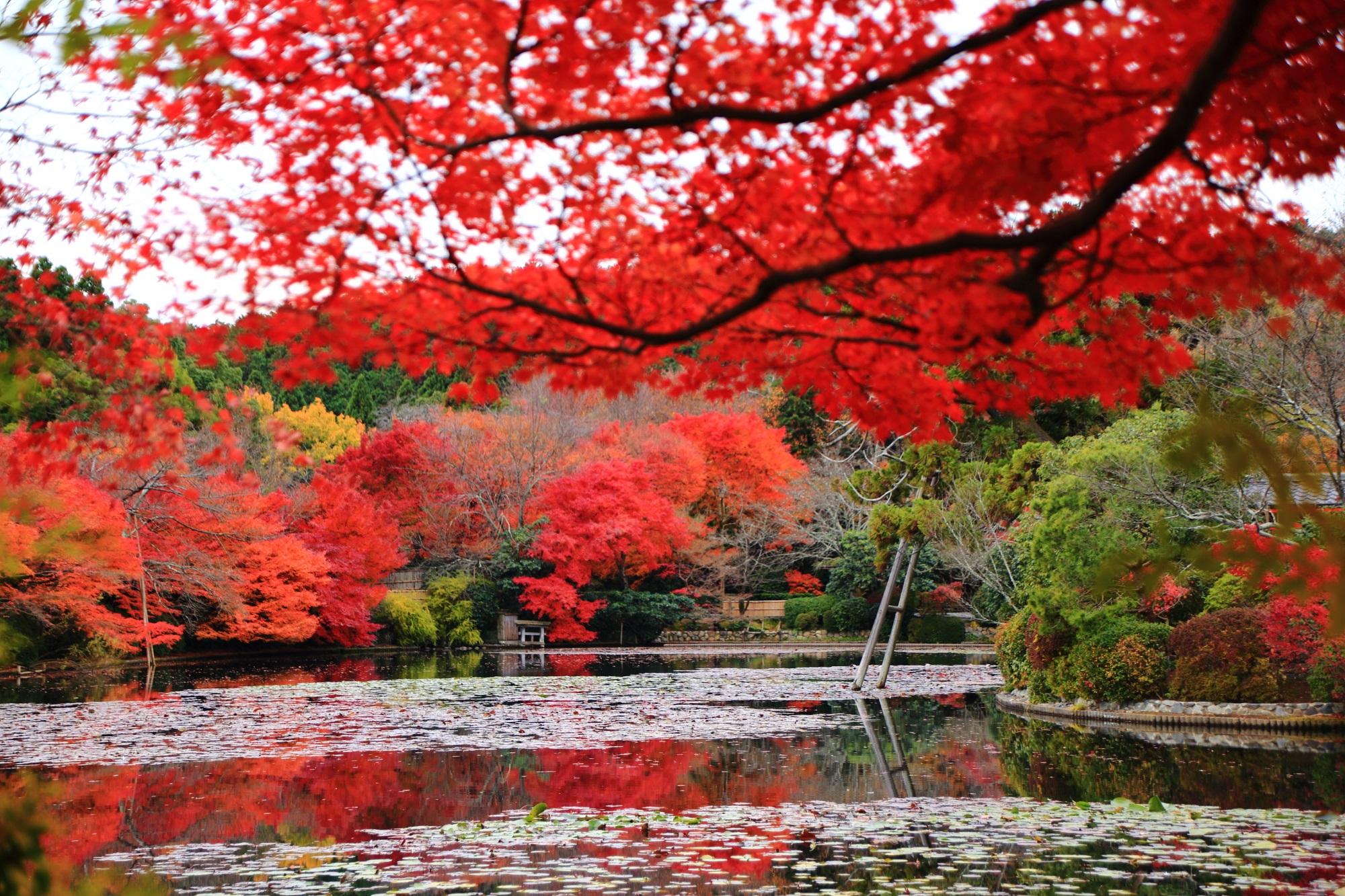 龍安寺の鏡容池の見ごろの紅葉