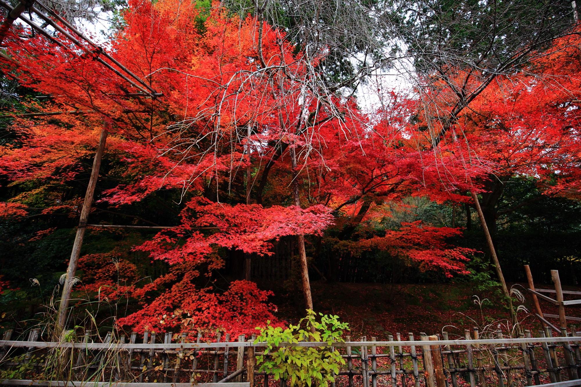 竜安寺の庫裡前の濃く色づく紅葉