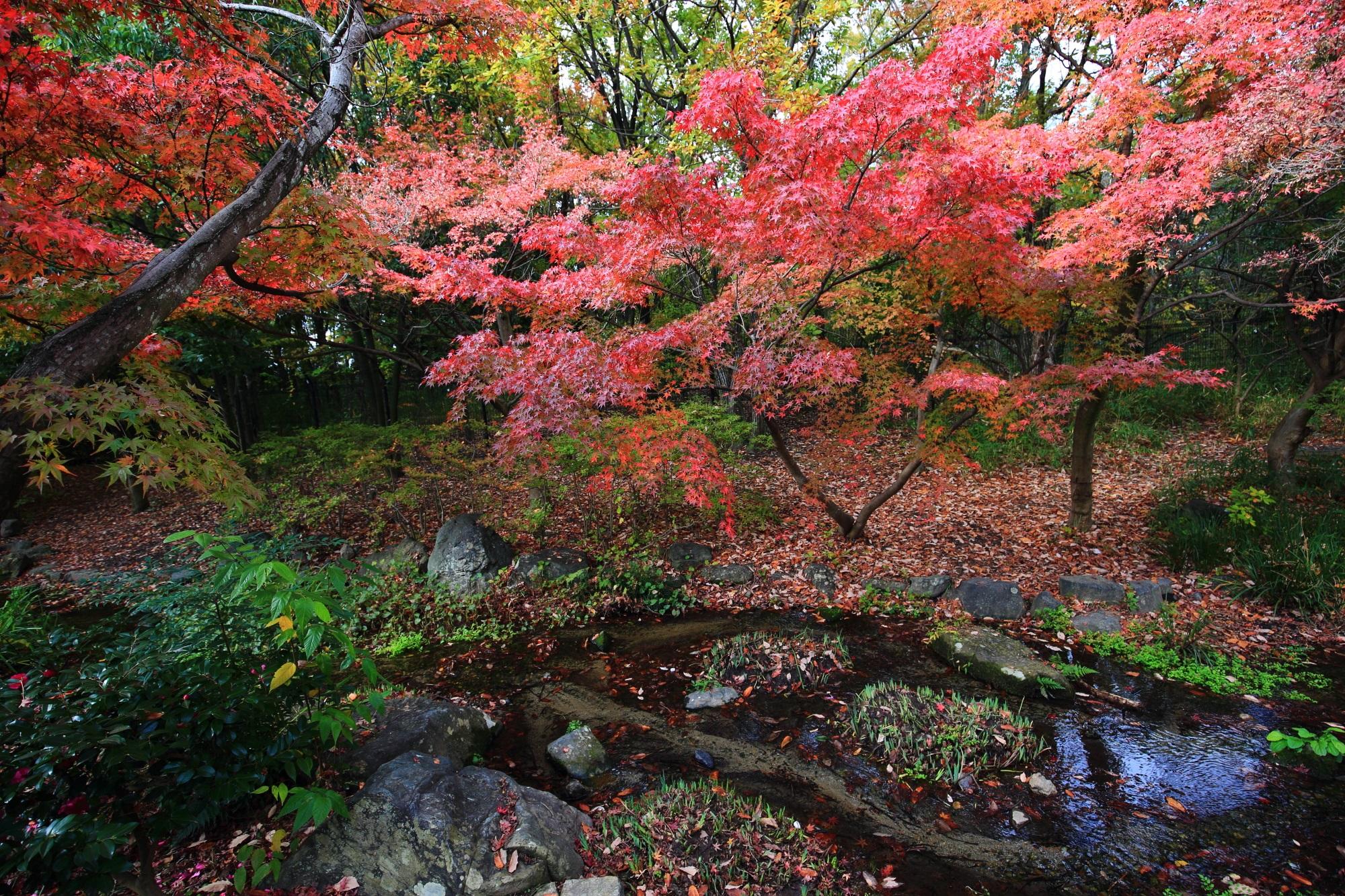 綺麗な紅葉につつまれたもみじの名所の梅小路公園