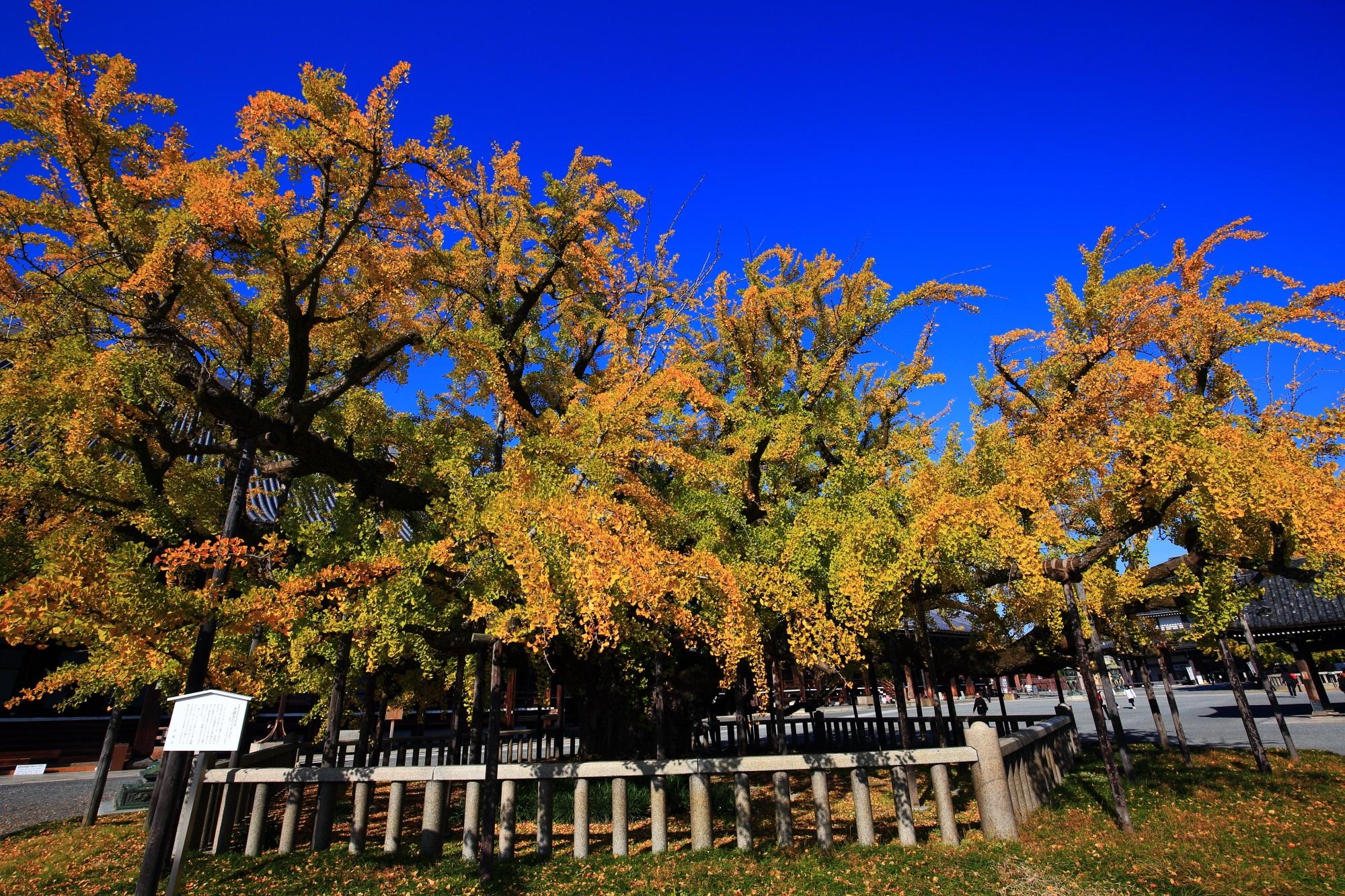 西本願寺の御影堂前の黄金の水吹き銀杏(大銀杏)