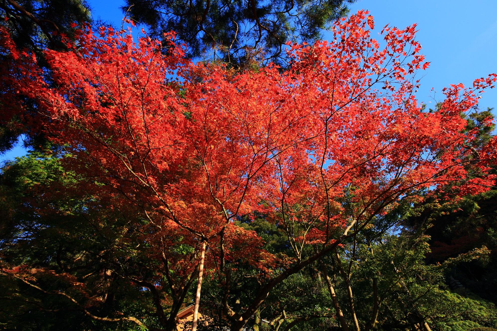 見ごろの華やかな紅葉につつまれた青蓮院の相阿弥の庭園