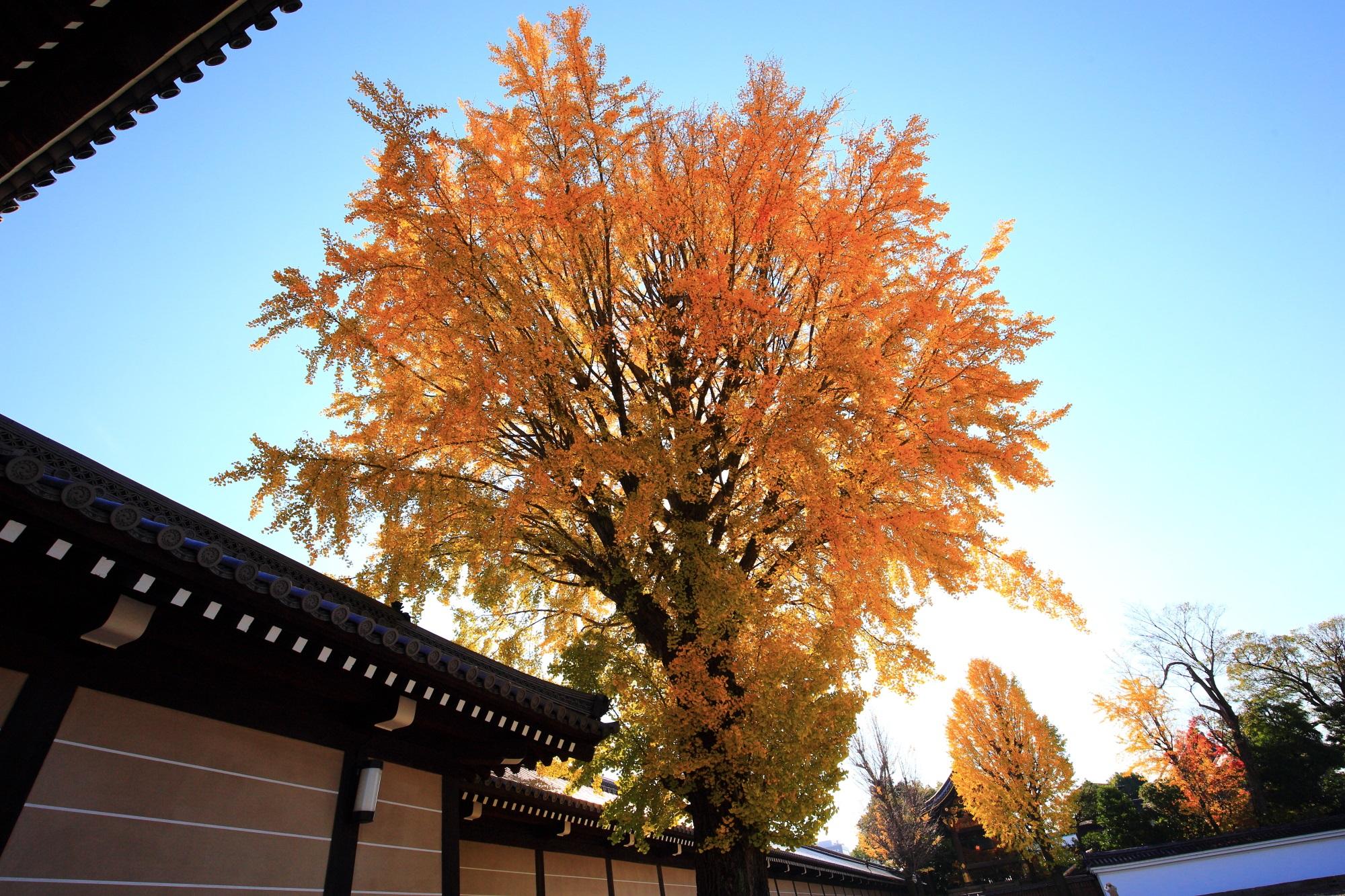 西本願寺の御影堂門横の鮮やかな見事な銀杏