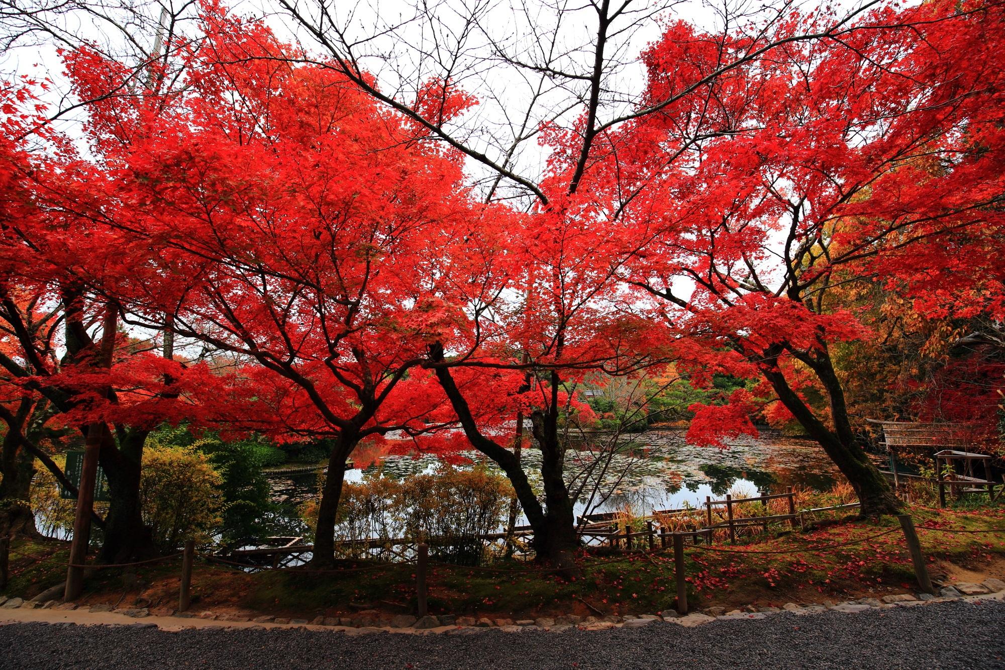 龍安寺の鏡容池の鮮やかな紅葉