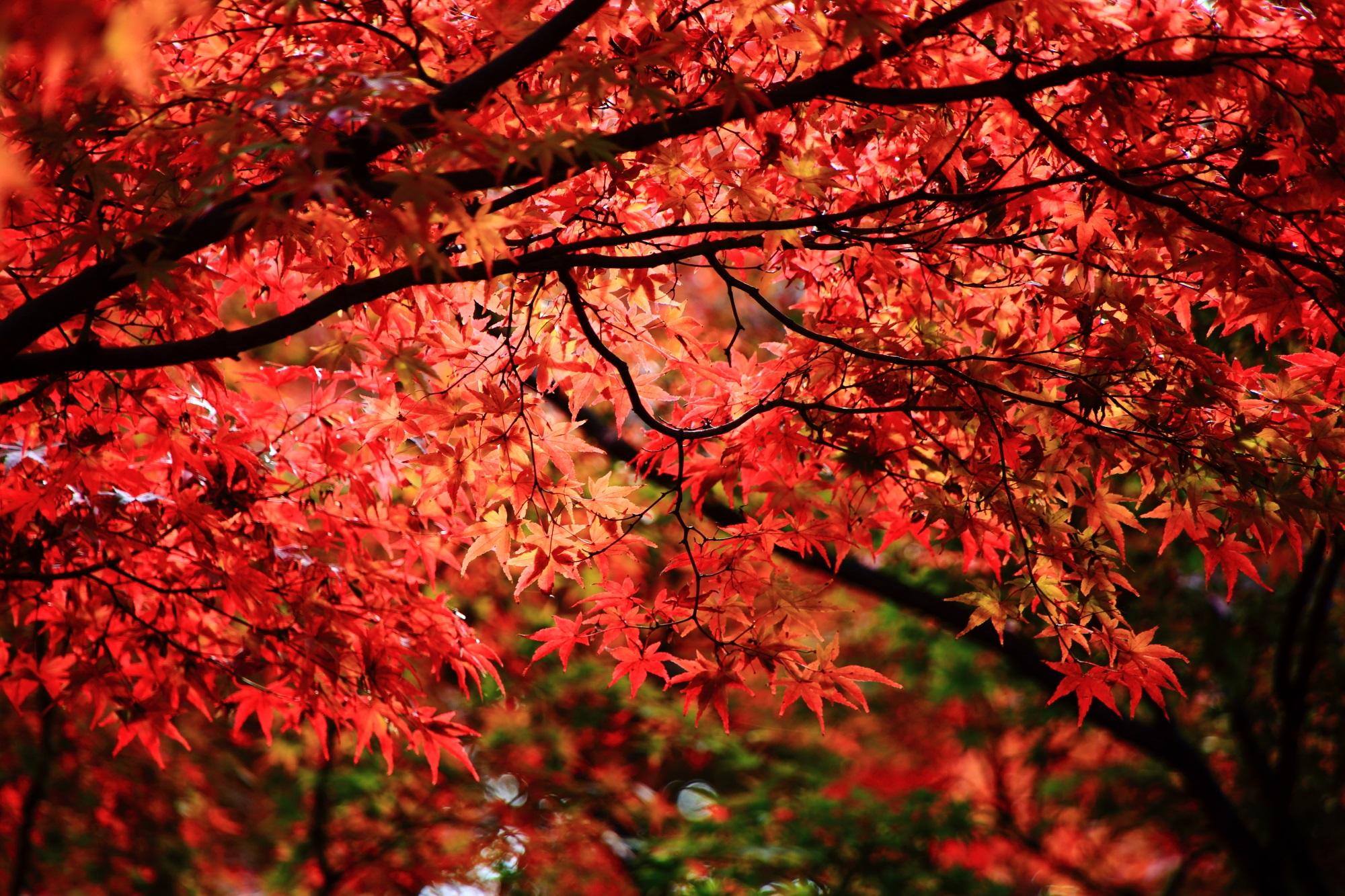 うめこうじこうえんの見ごろの鮮やかな赤い紅葉