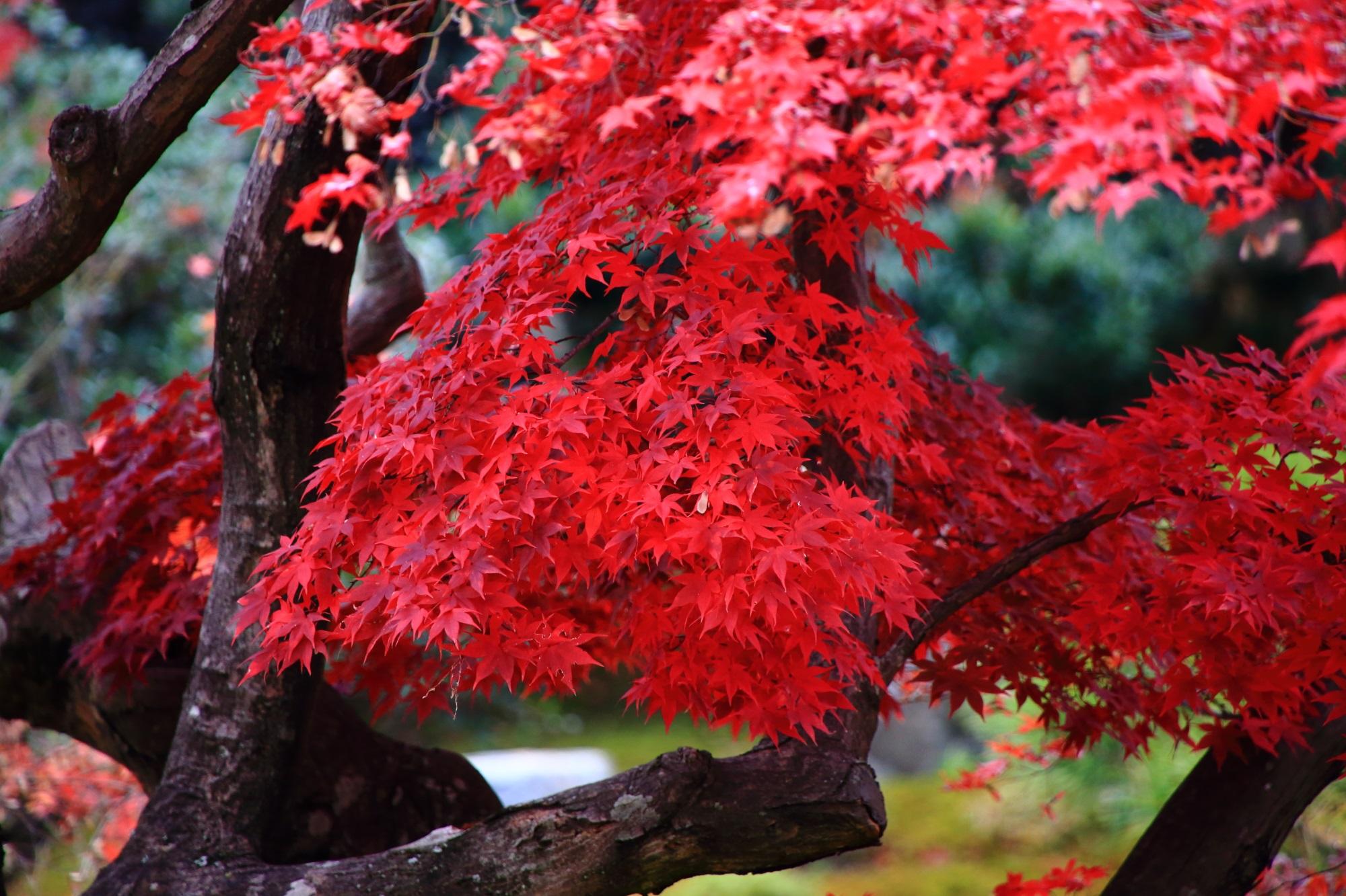 鹿王院 紅葉 真っ赤 鮮やか京 都 秋 見ごろ