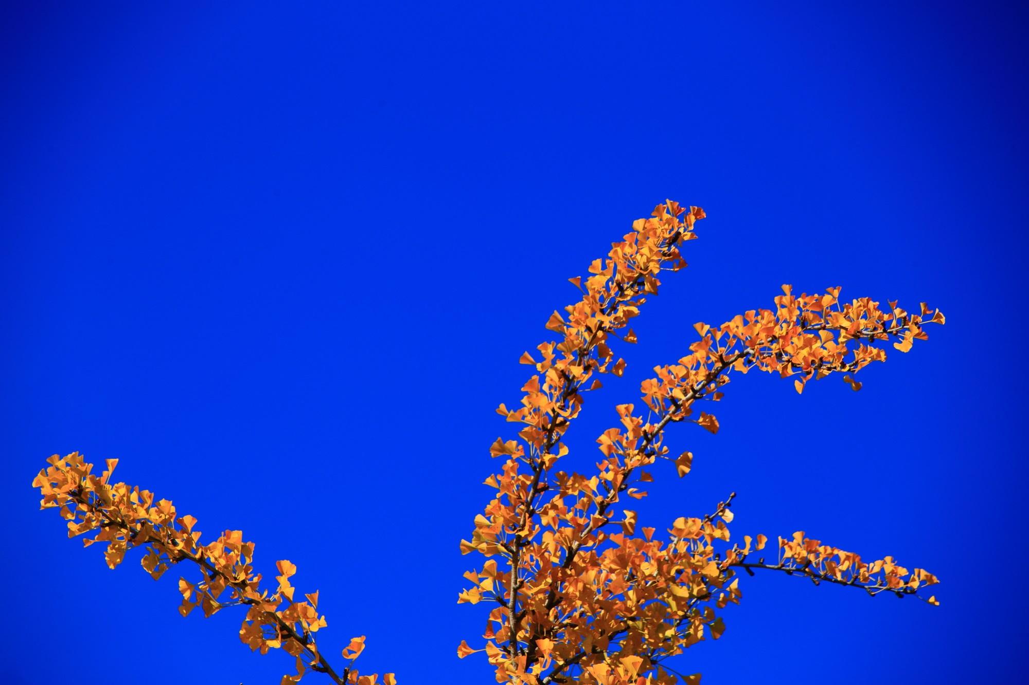 西本願寺の華やかな大銀杏の黄葉と青空