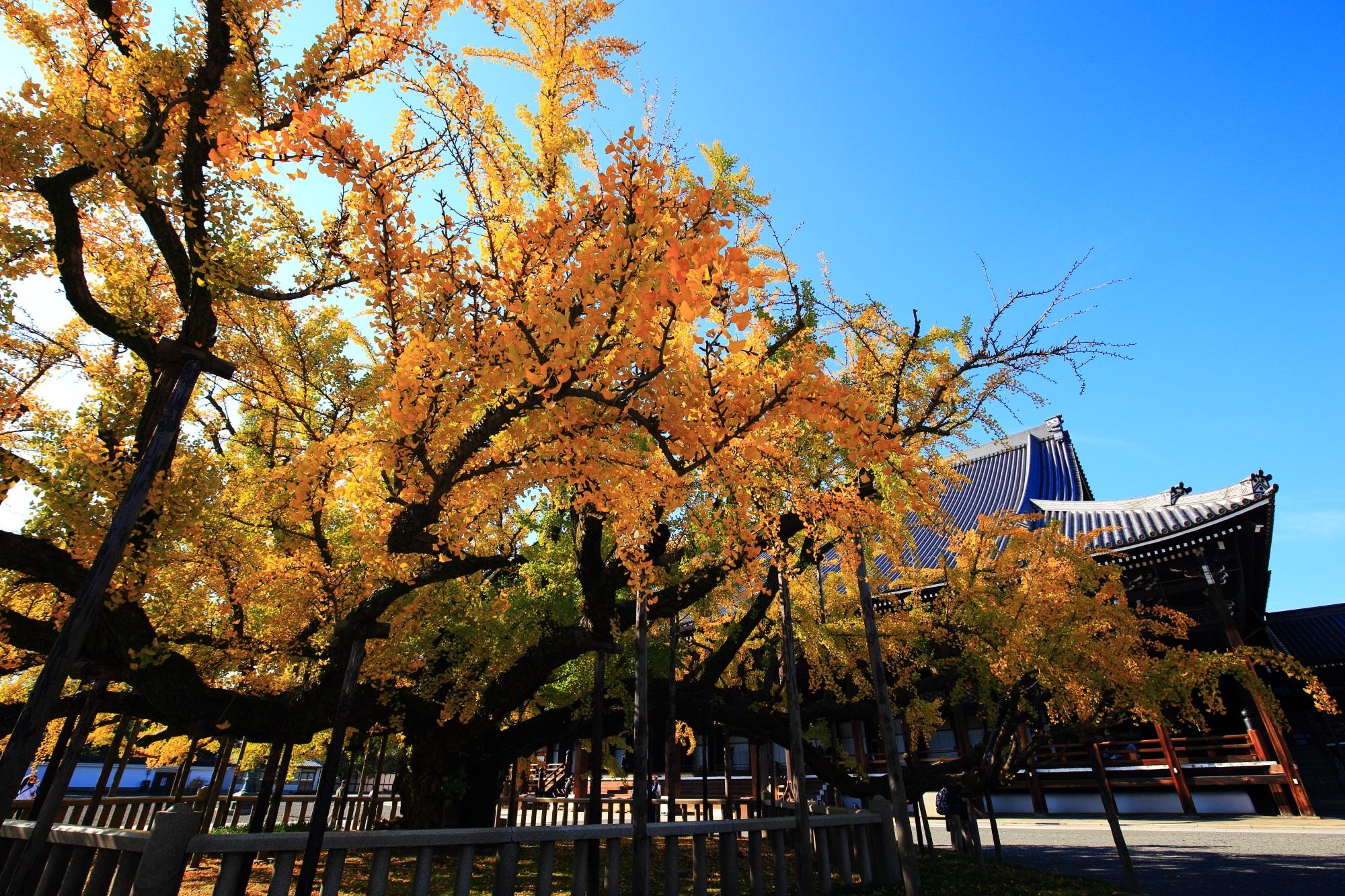 鮮やかな黄金の銀杏につつまれた西本願寺