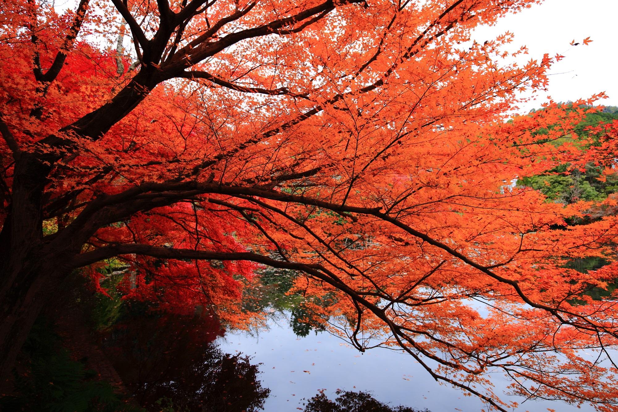 もみじの名所の竜安寺の水面を覆う秋の彩り