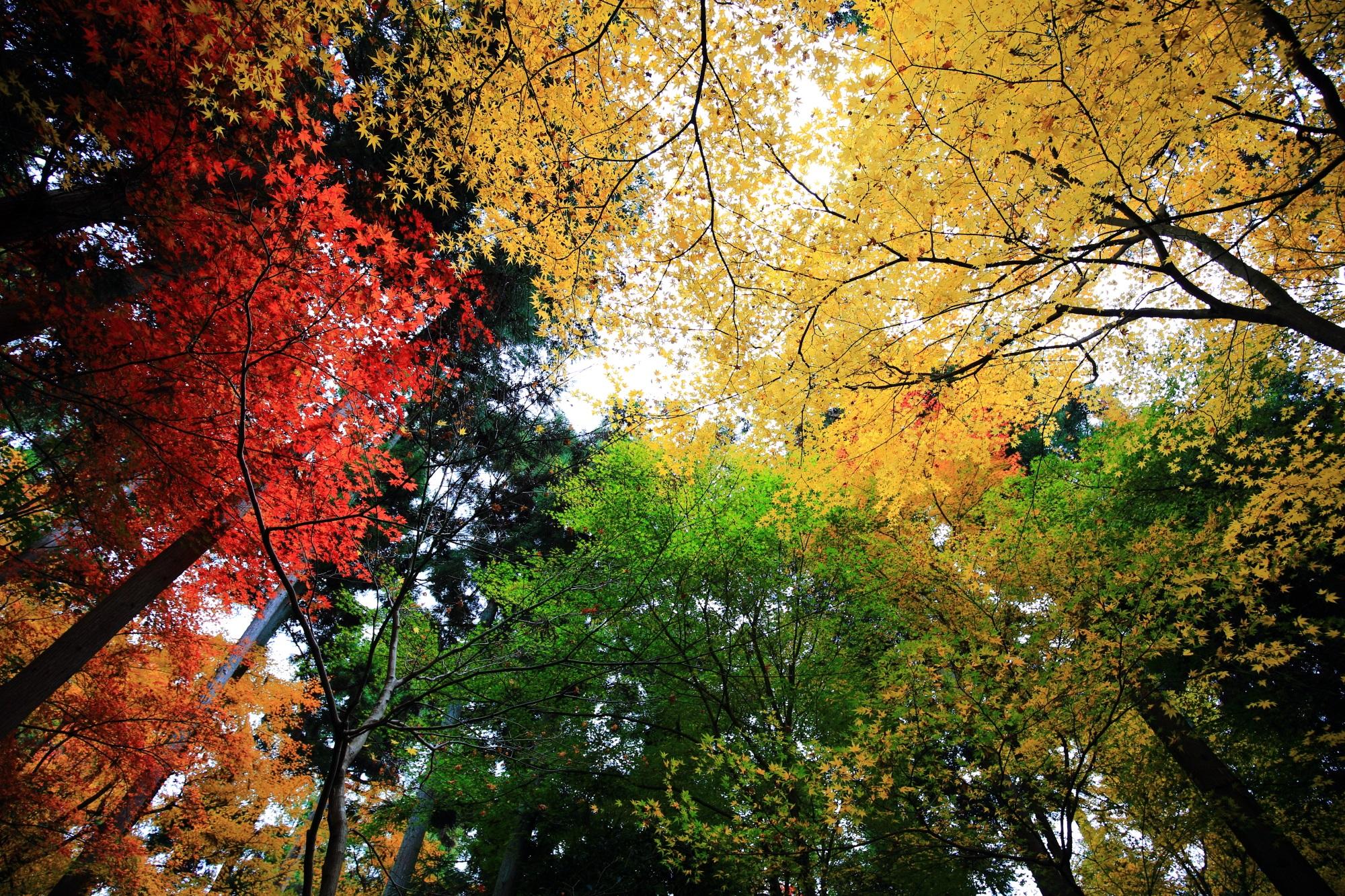 緑と黄と赤のコントラストにつつまれた龍安寺の参道