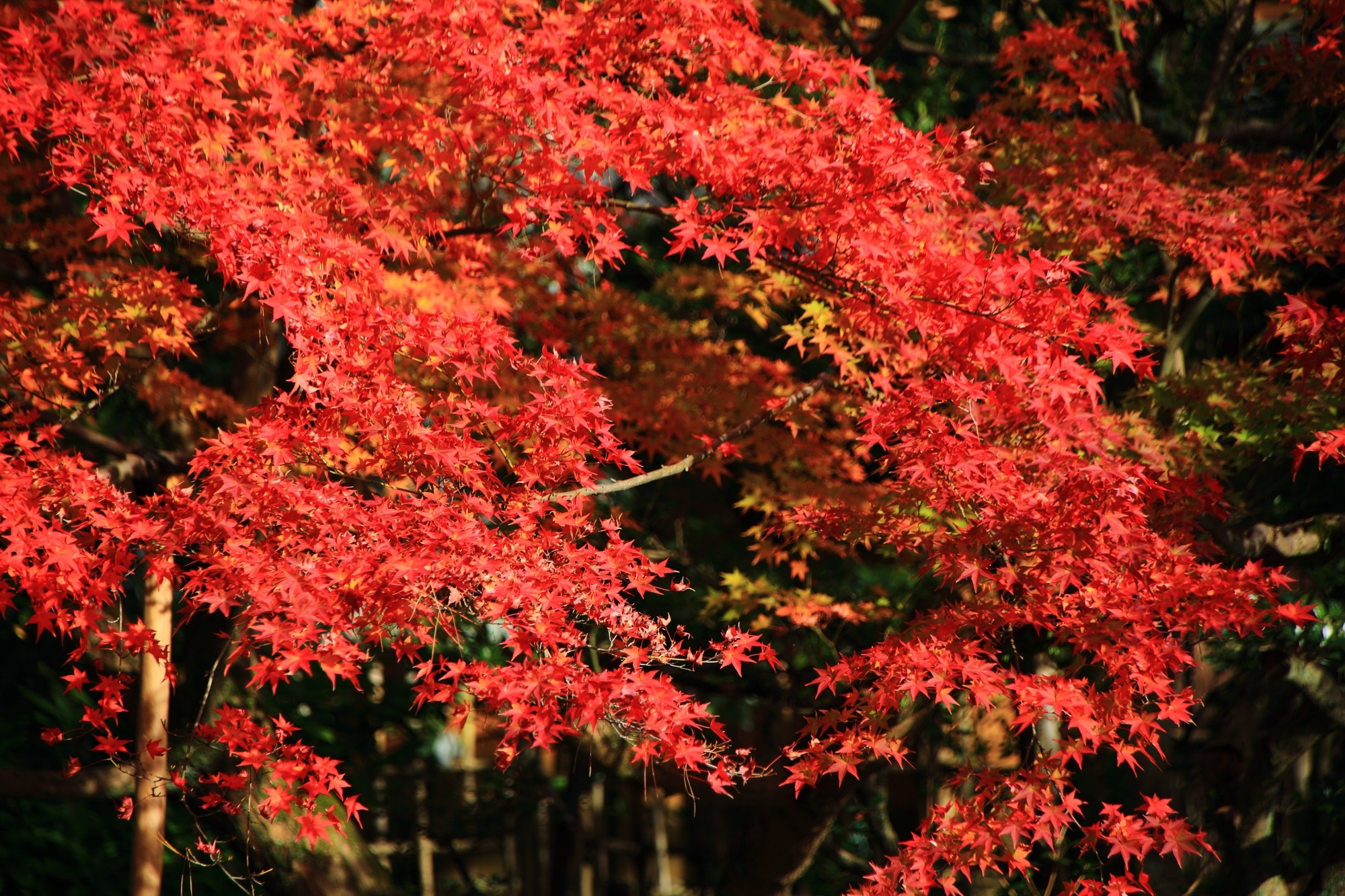 Shorenin-Temple Kyoto autumn leaves 見ごろ 鮮やか 相阿弥の庭 青蓮院