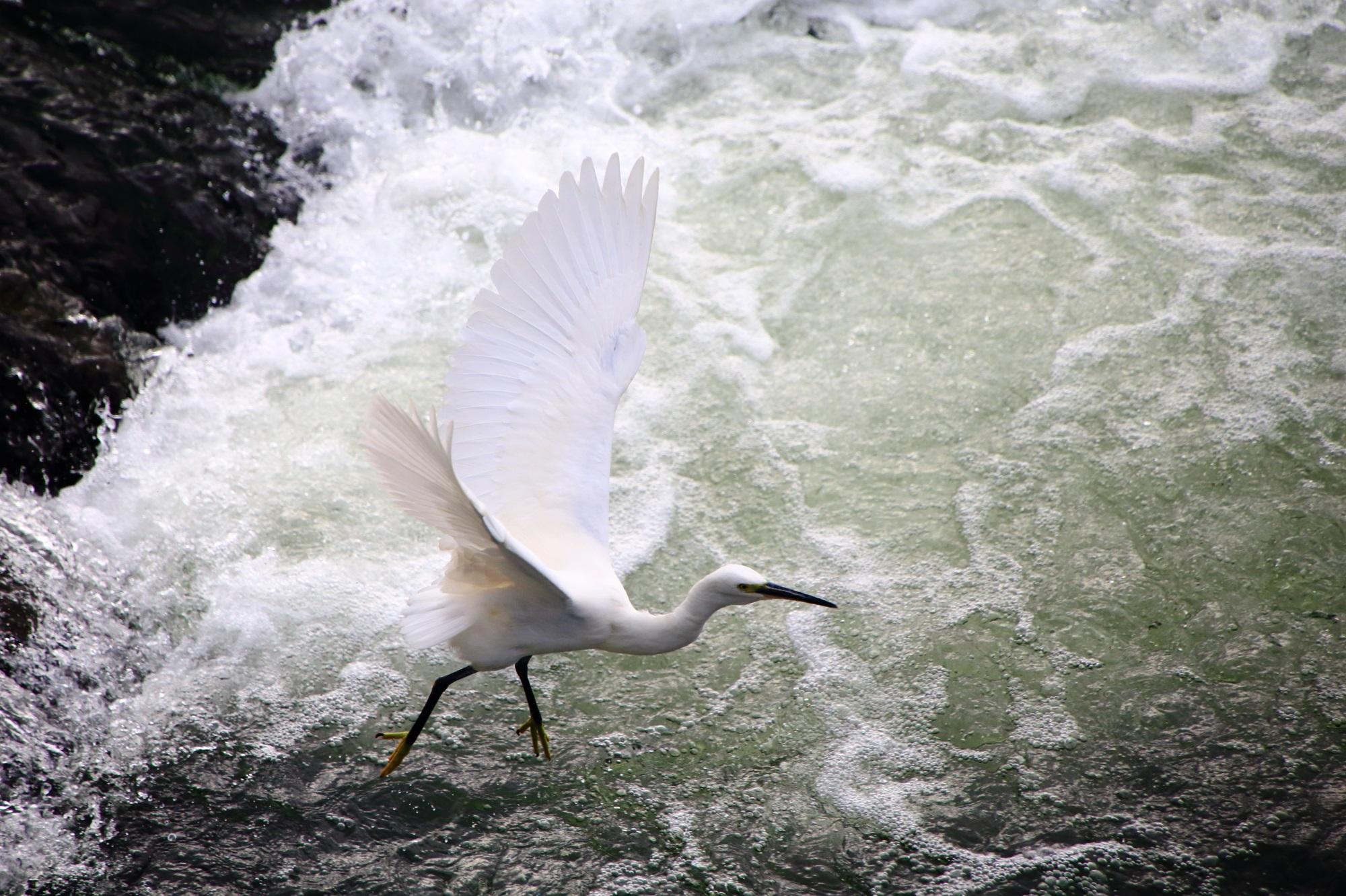 宇治川の美しい白鷺