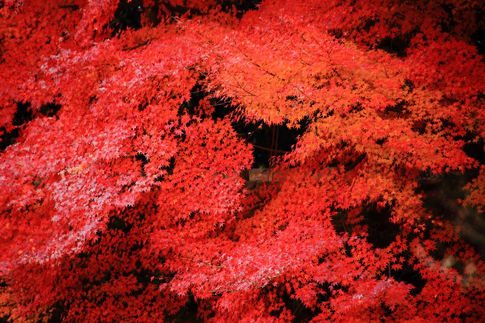 紅葉の名所の龍安寺(りょうあんじ)の情熱的な色づきの紅葉