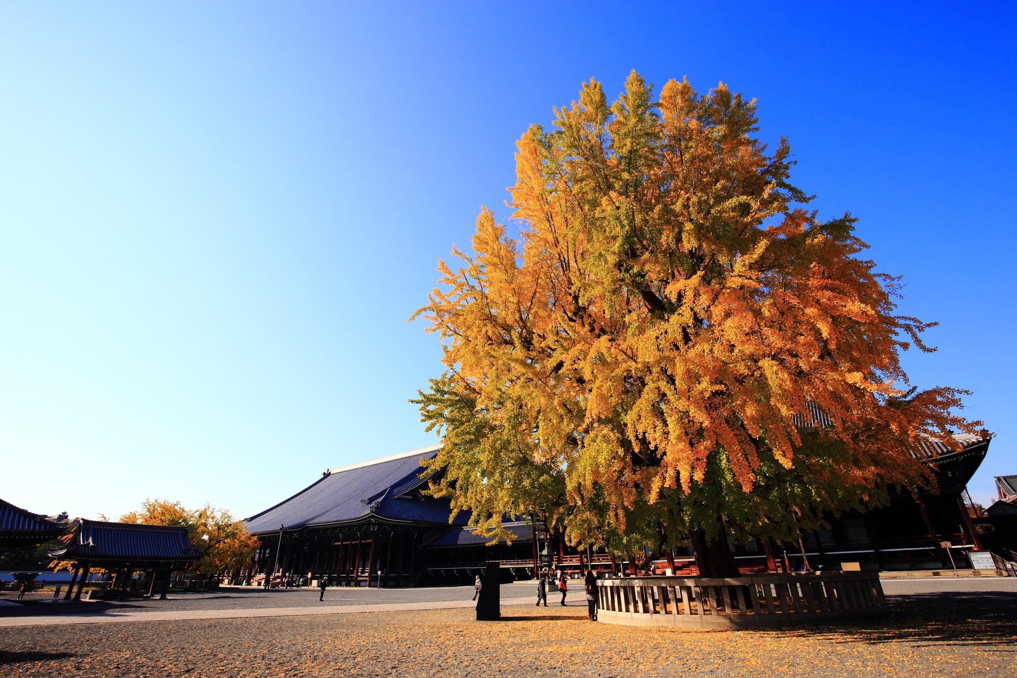 銀杏の名所の西本願寺の阿弥陀堂前の見事な鮮やかな大イチョウの黄葉
