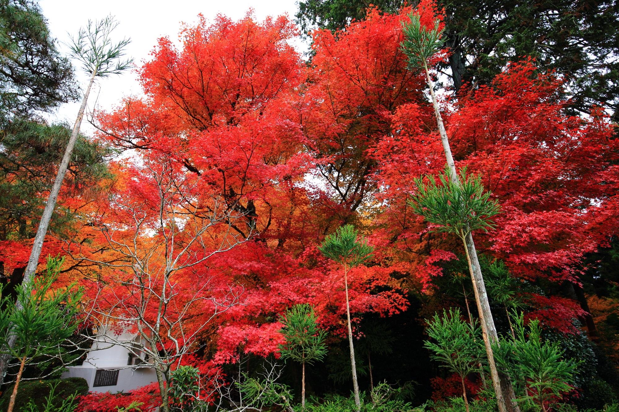 燃え上がるような形と色の紅葉