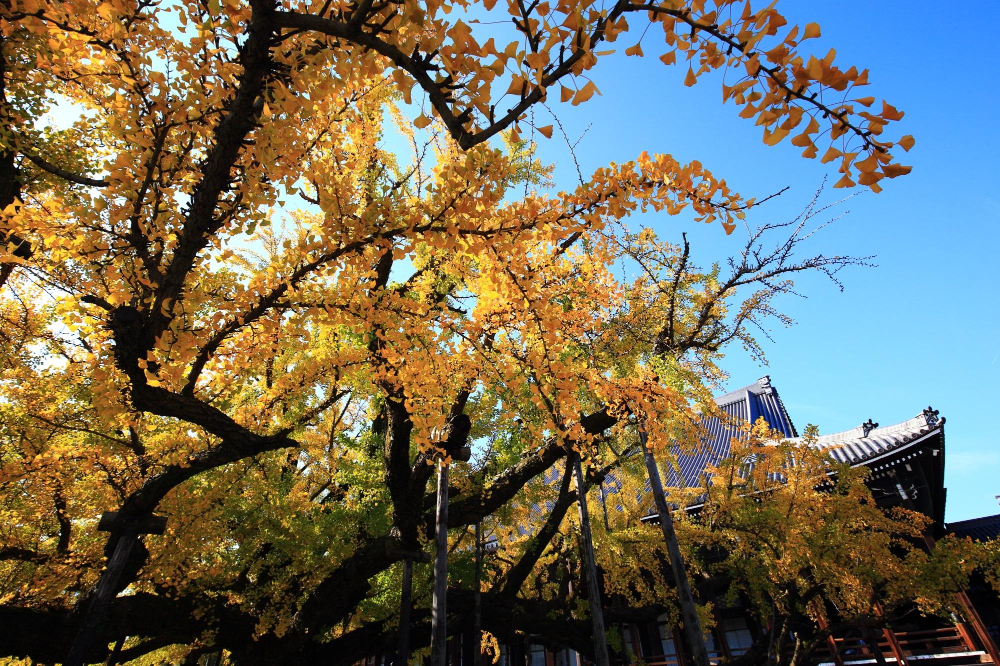 西本願寺の御影堂と大きな水吹き銀杏